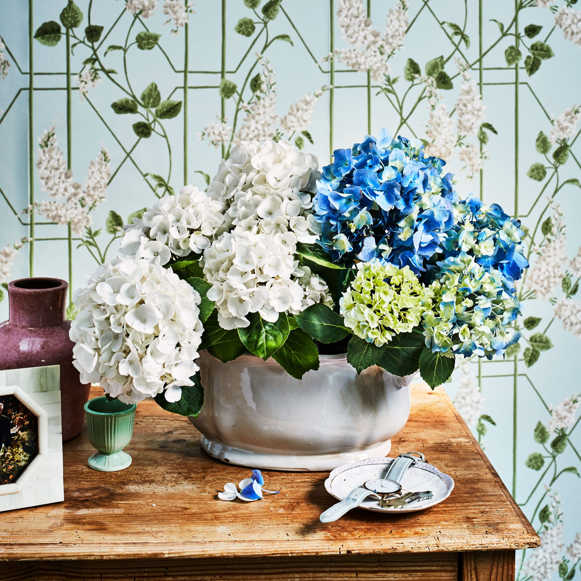 Indoor Potted blue and white hydrangeas