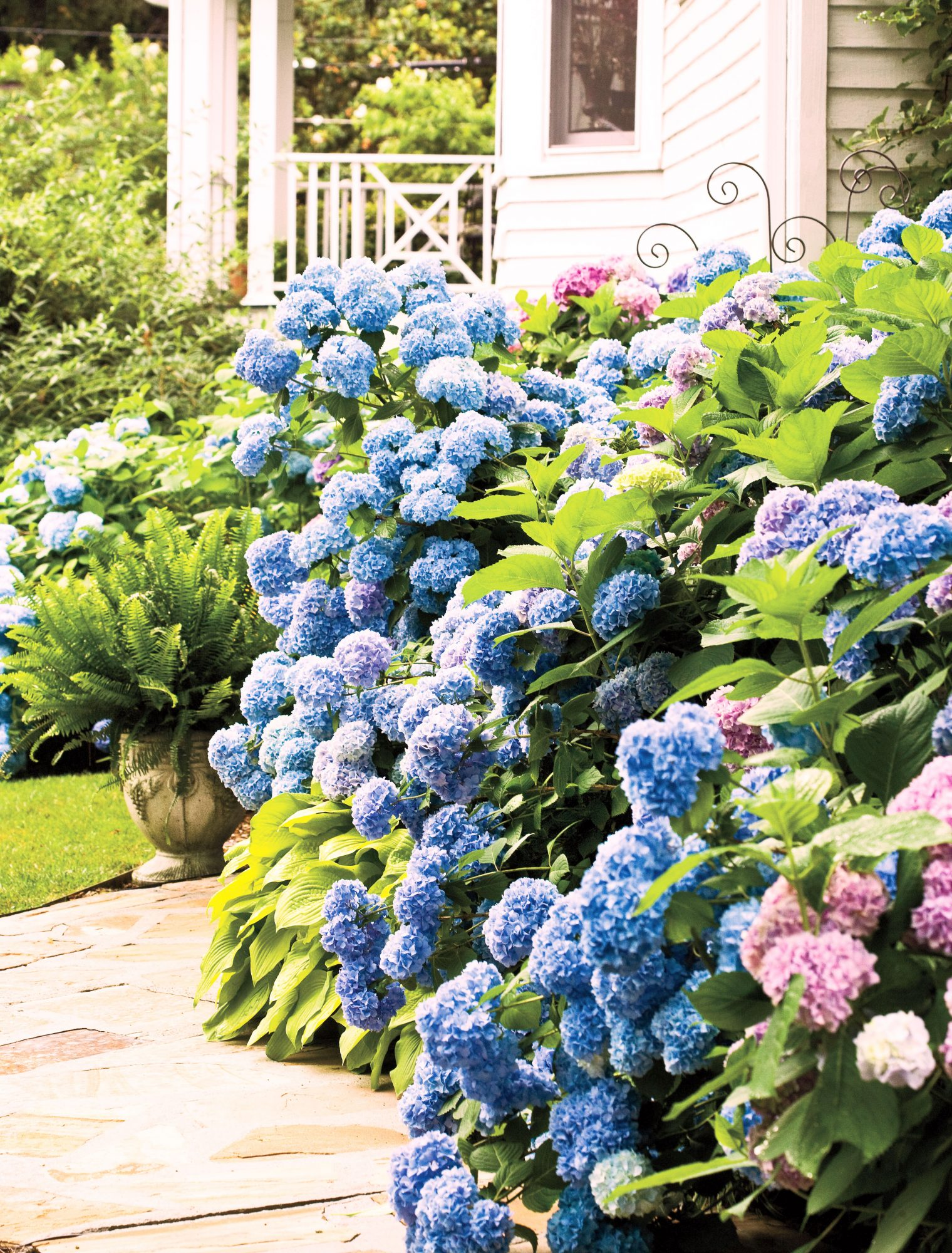 Blue and pink hydrangea shrubs against house