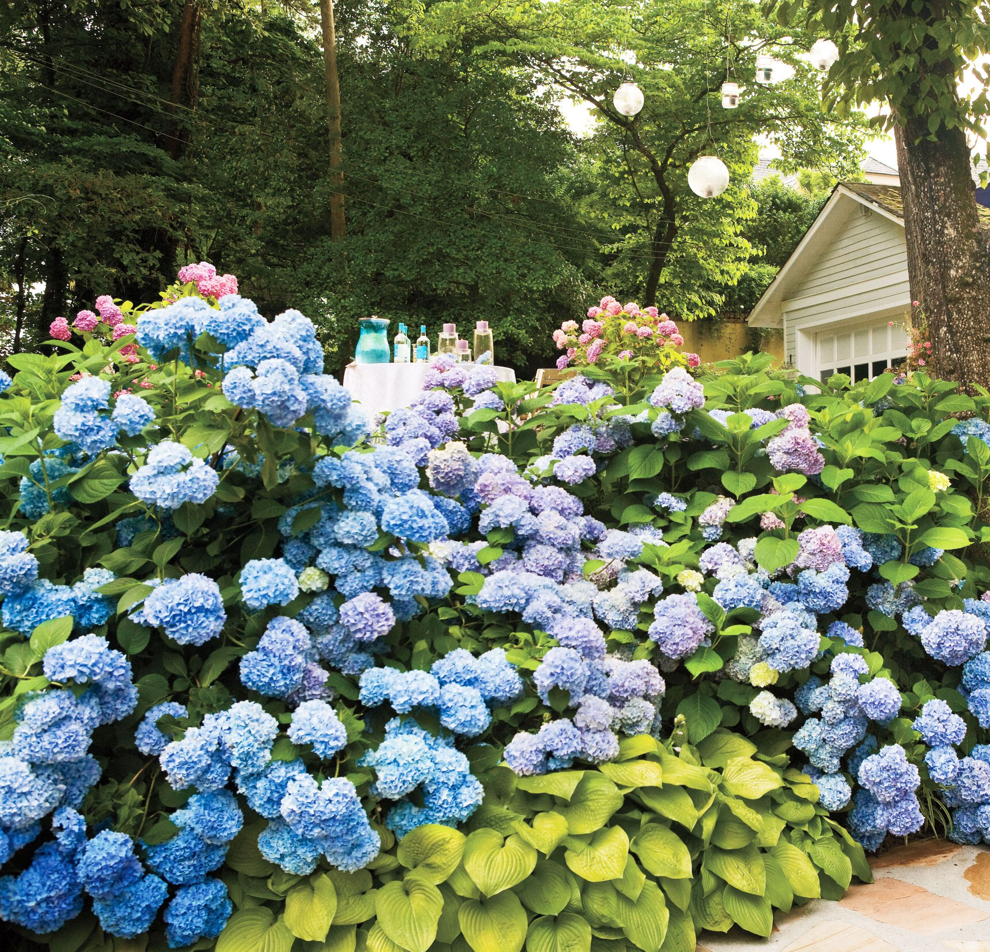 Hydrangea Shrubs with party in the background