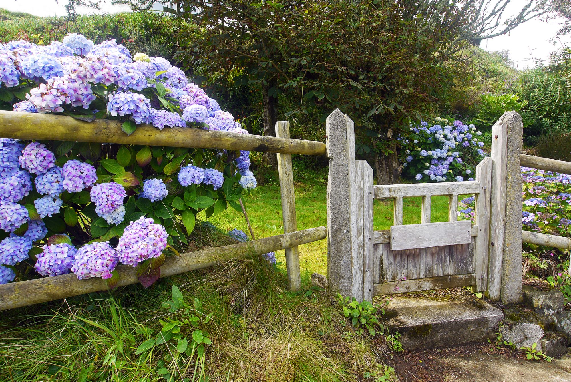 Purple hydrangeas against rustic fence and gate