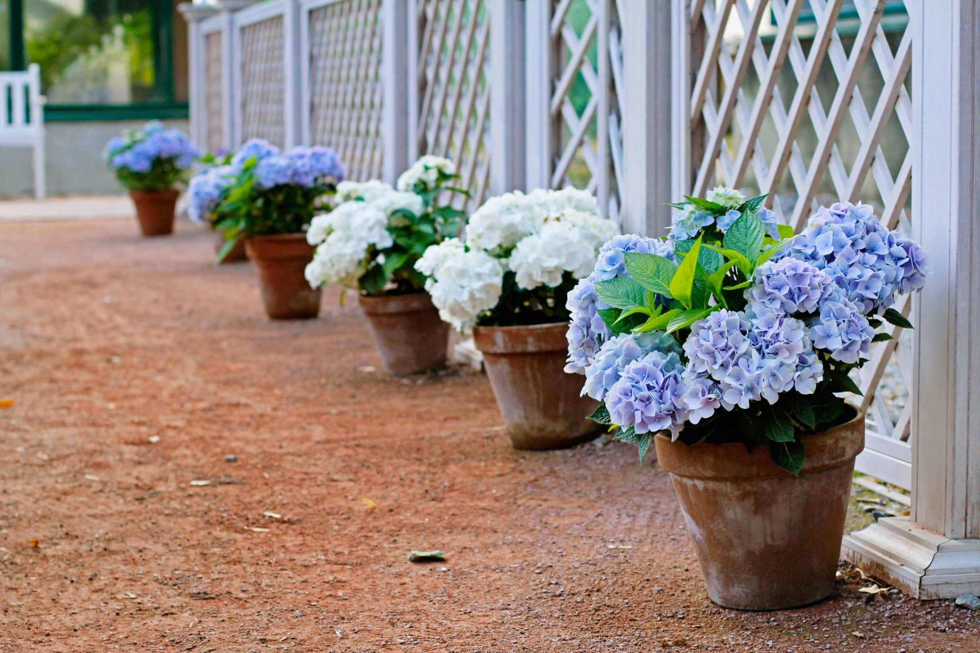 Blue and white hydrangeas in the pots at the white fence
