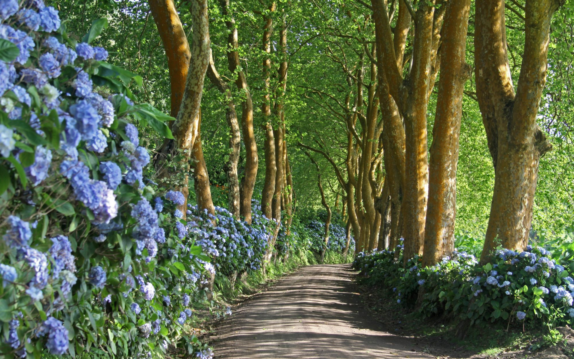 Dirt road with hydrangea shrubs and archway of trees