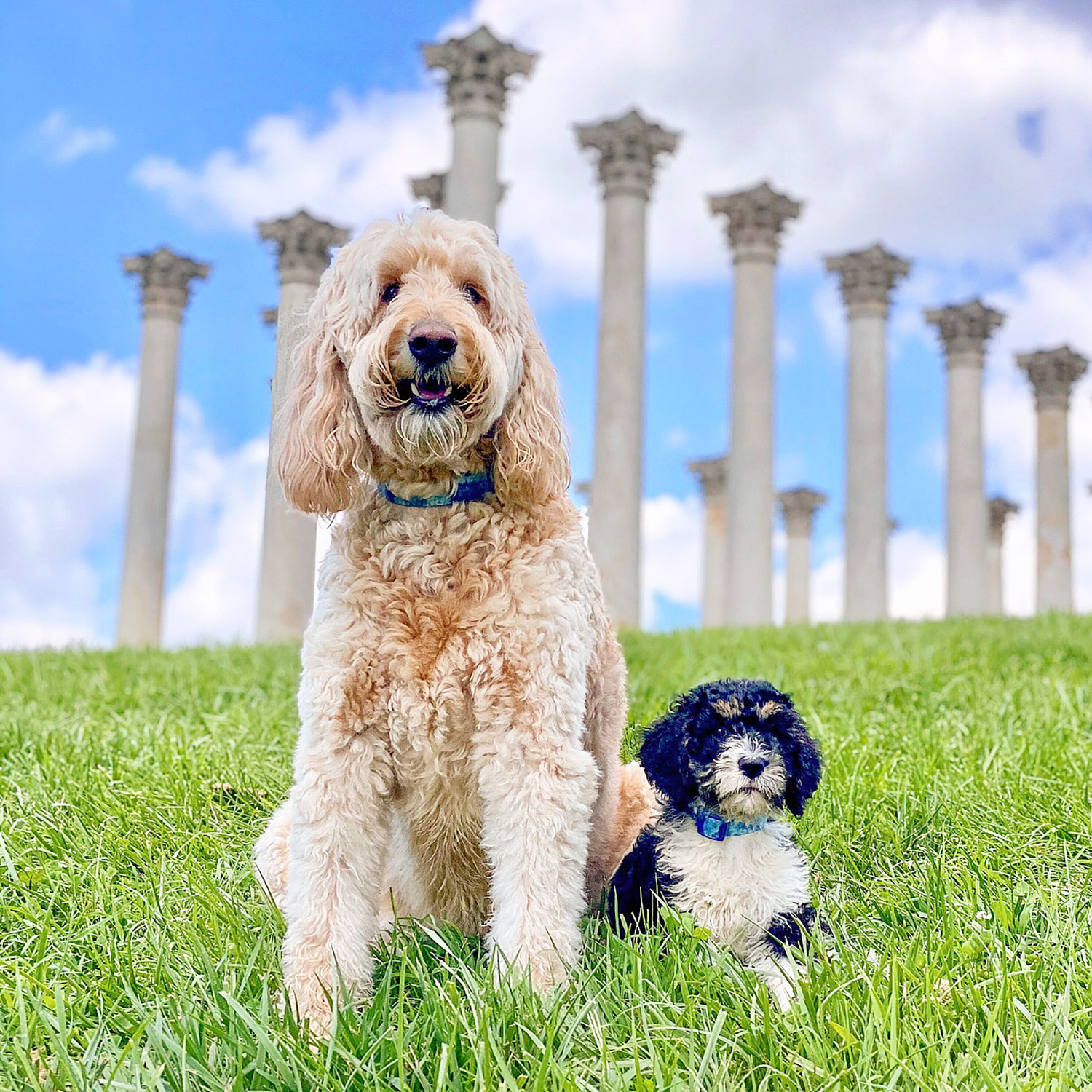 Colby the Goldendoodle and Blue the Sproodle