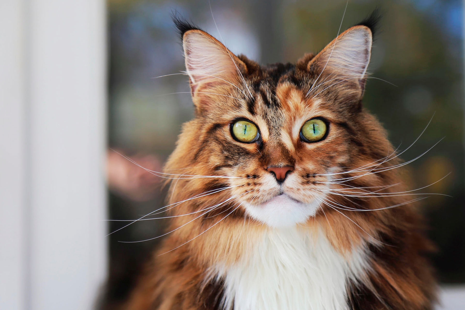 Sophie the Maine Coon Cat