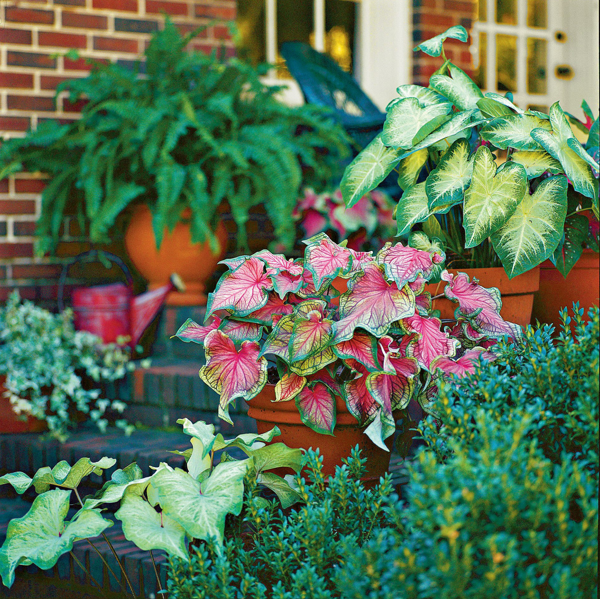 Caladium Combination Container Garden