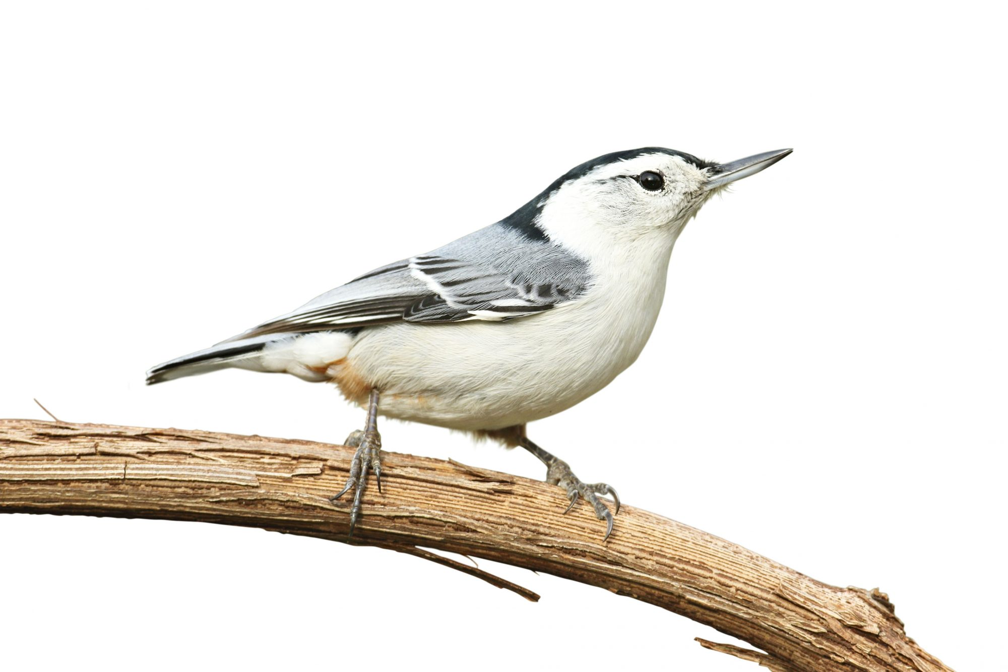 White-Breasted Nuthatch bird on branch