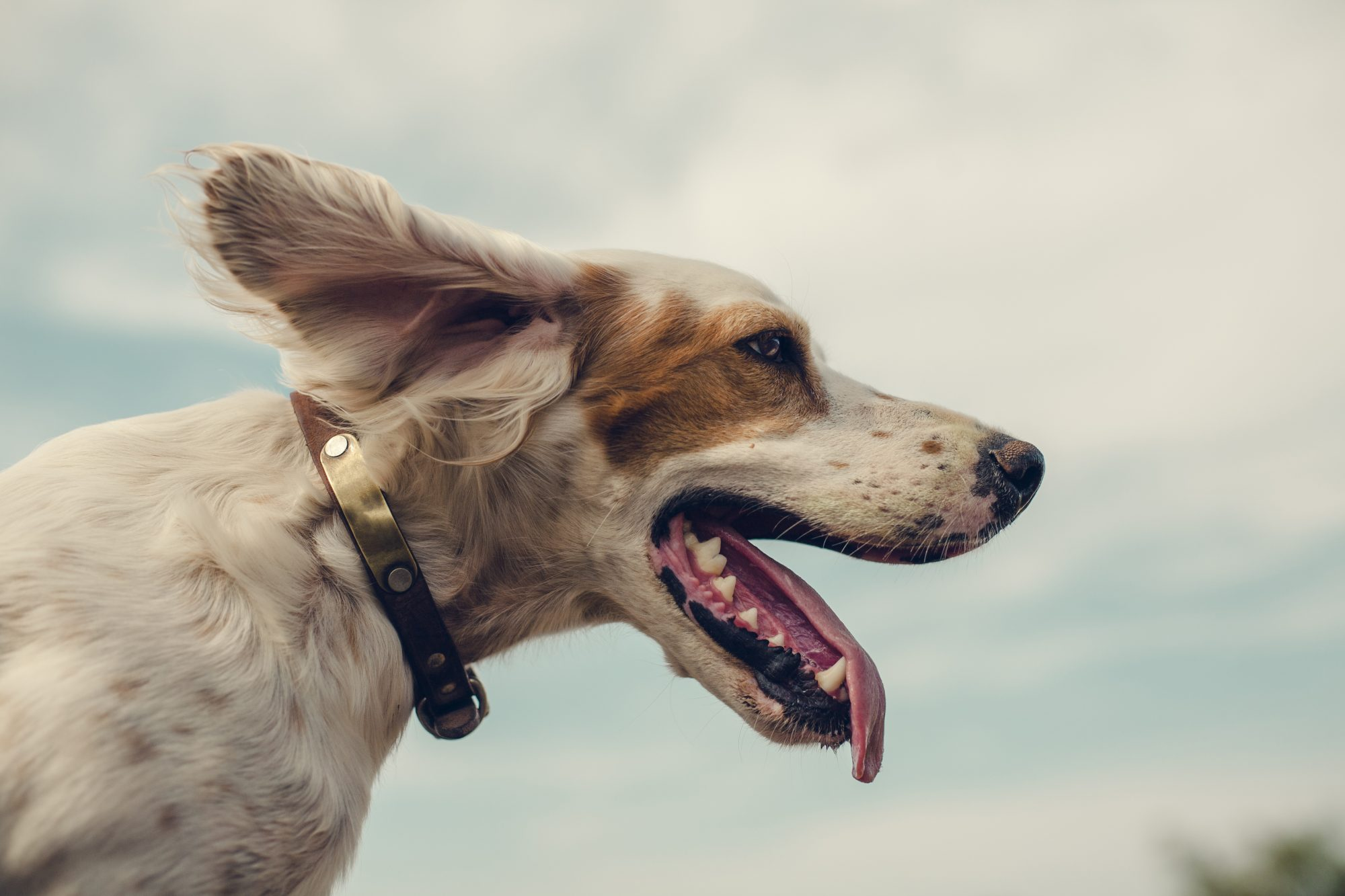 Portrait of Dog looking into the wind.