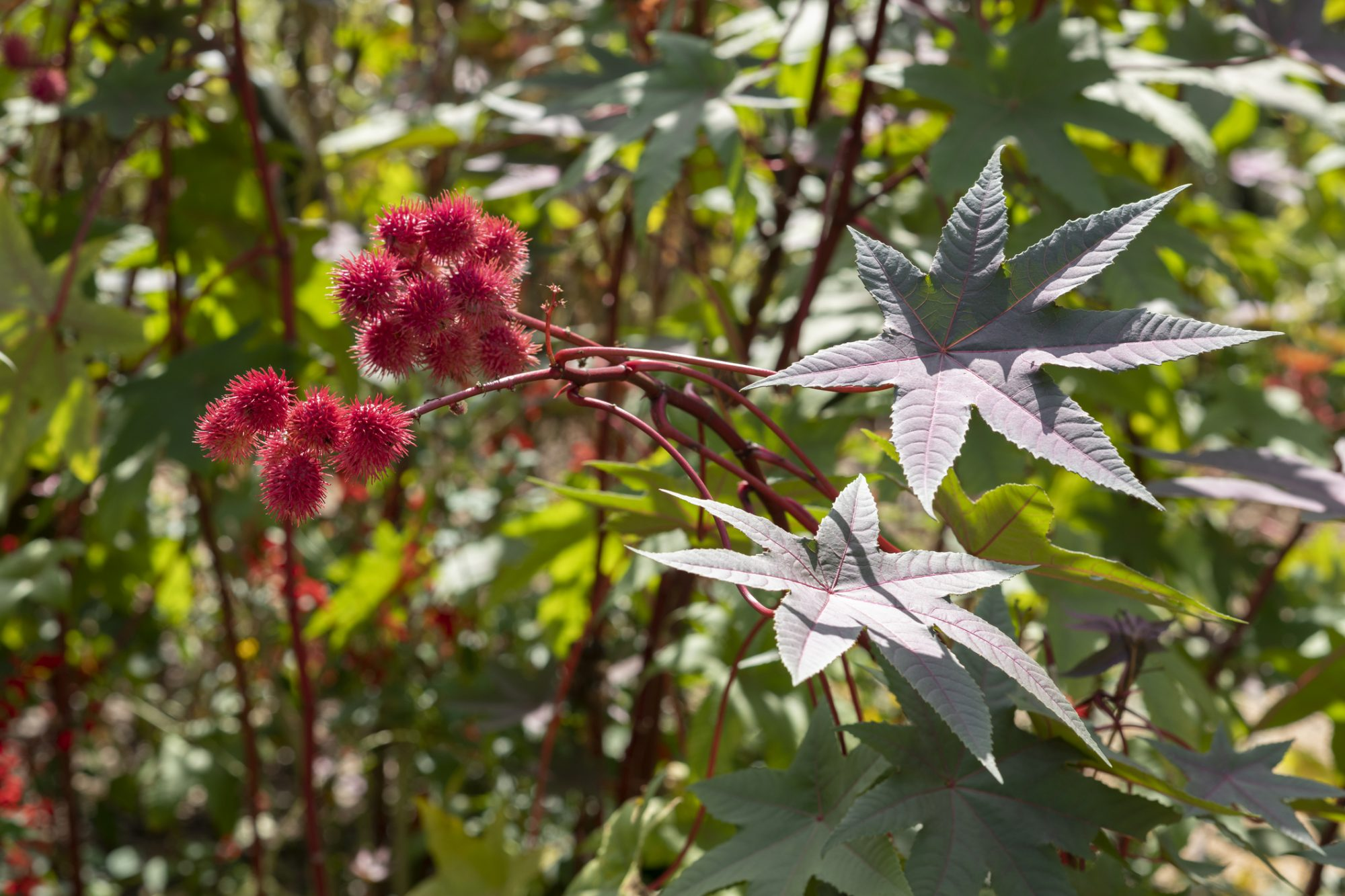 Castor Bean plant with red sees capsules