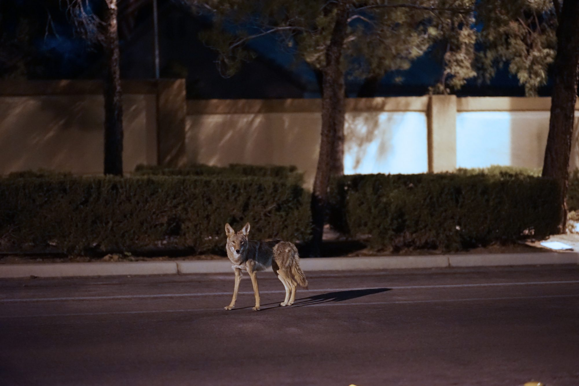 Coyote Roaming A Suburb Street