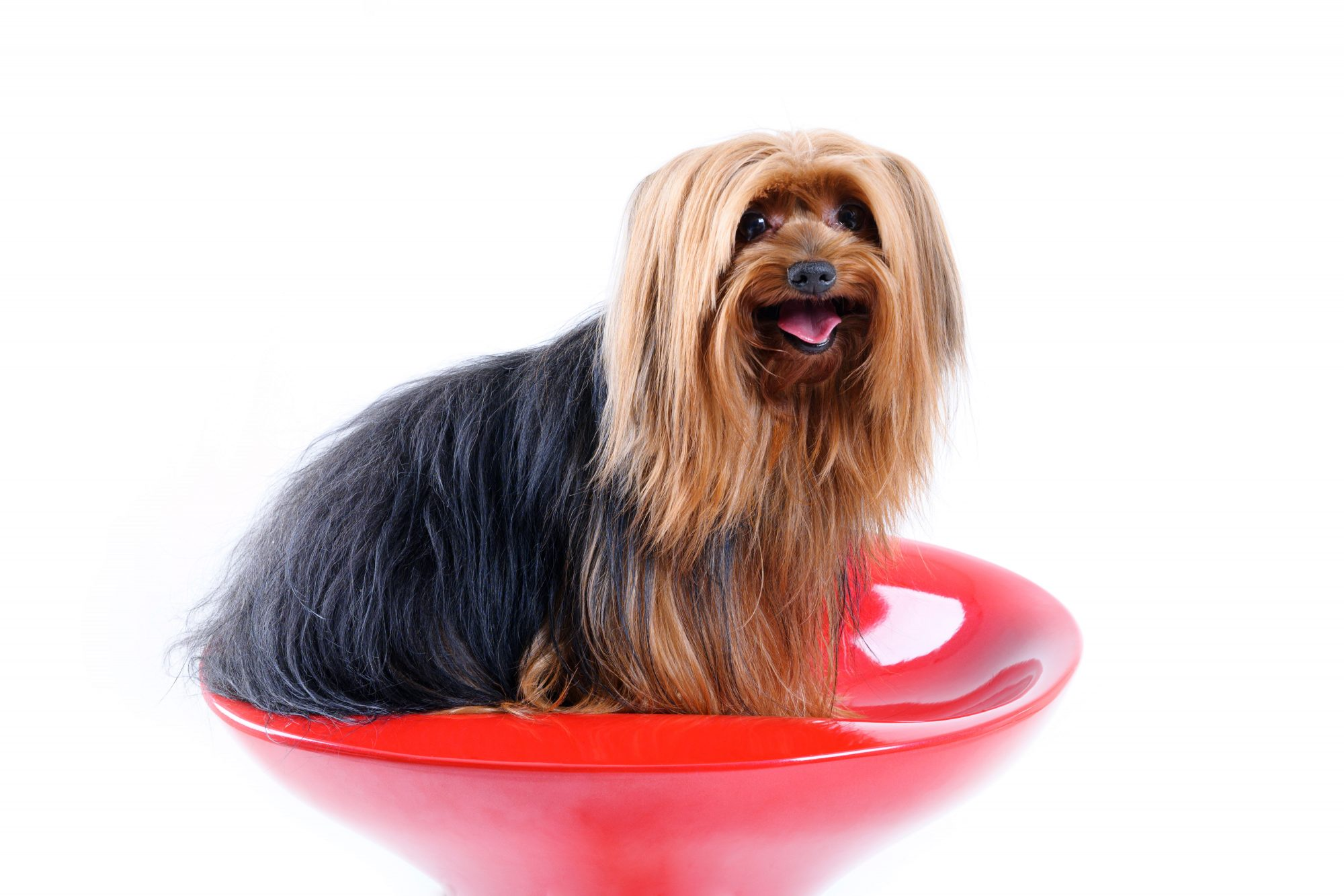 Yorkshire Terrier Sitting in Bowl