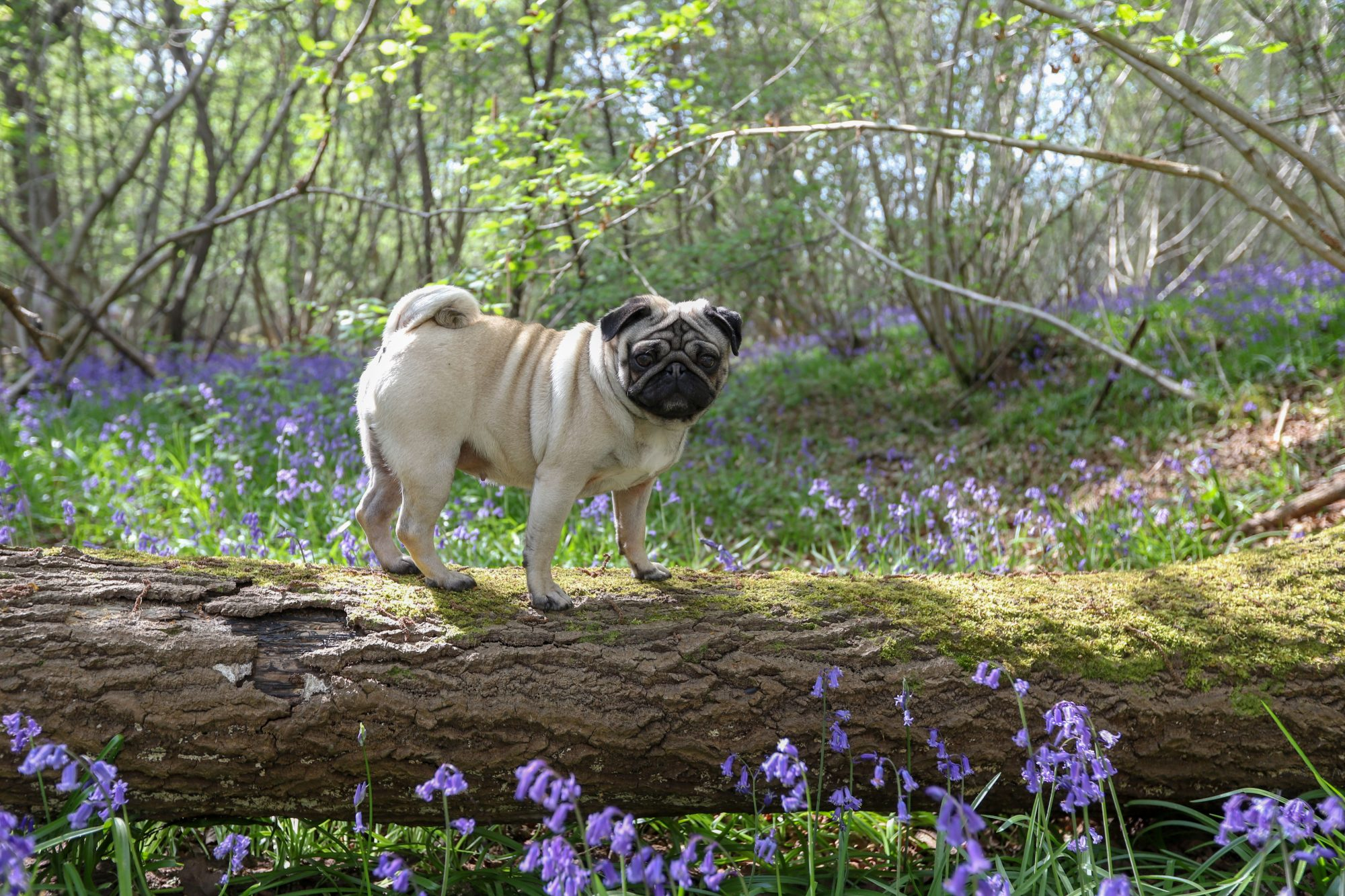 Pug Standing on Log in Forest