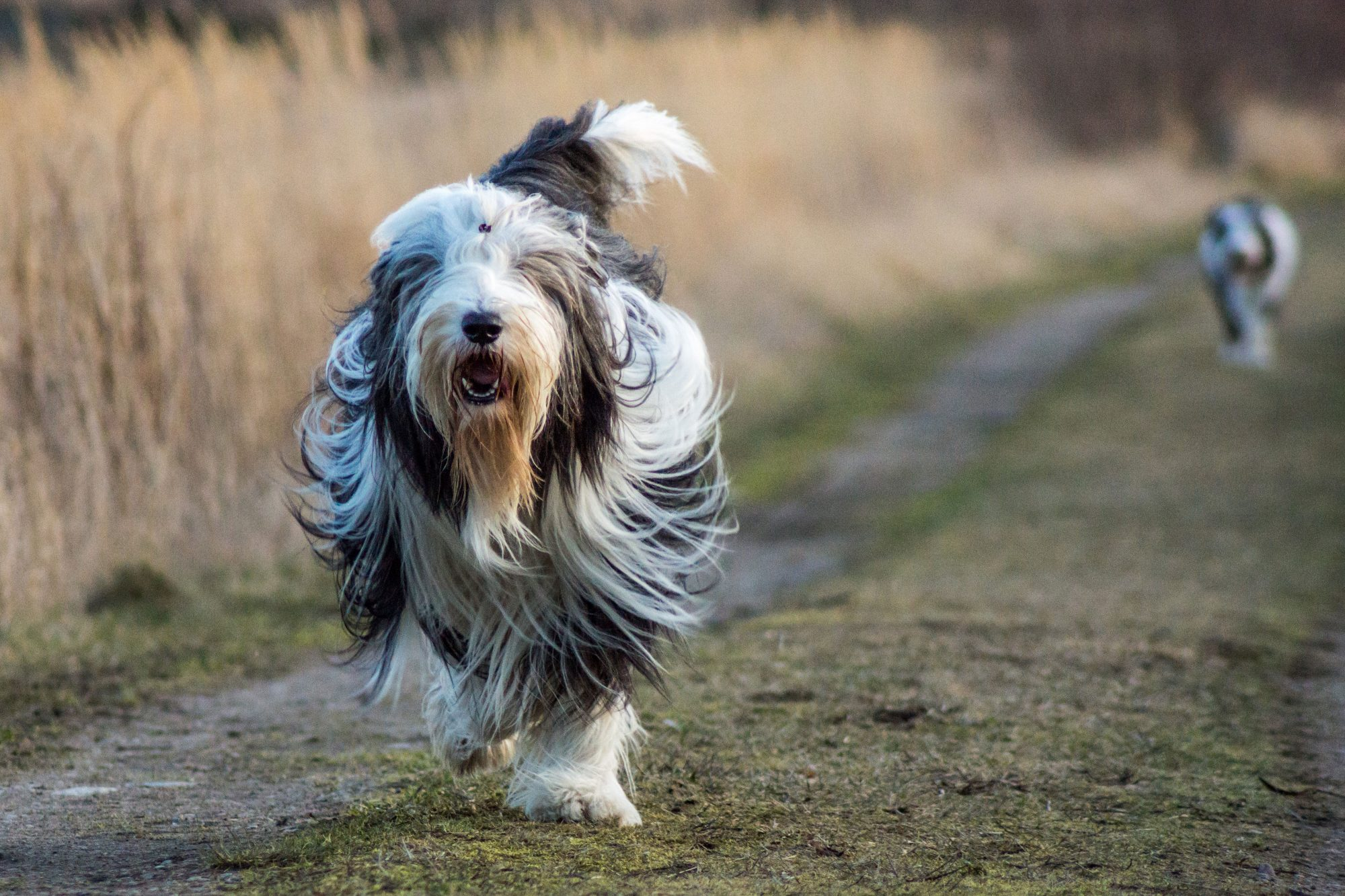 Bearded Collie Dog Running Down Dirt Road