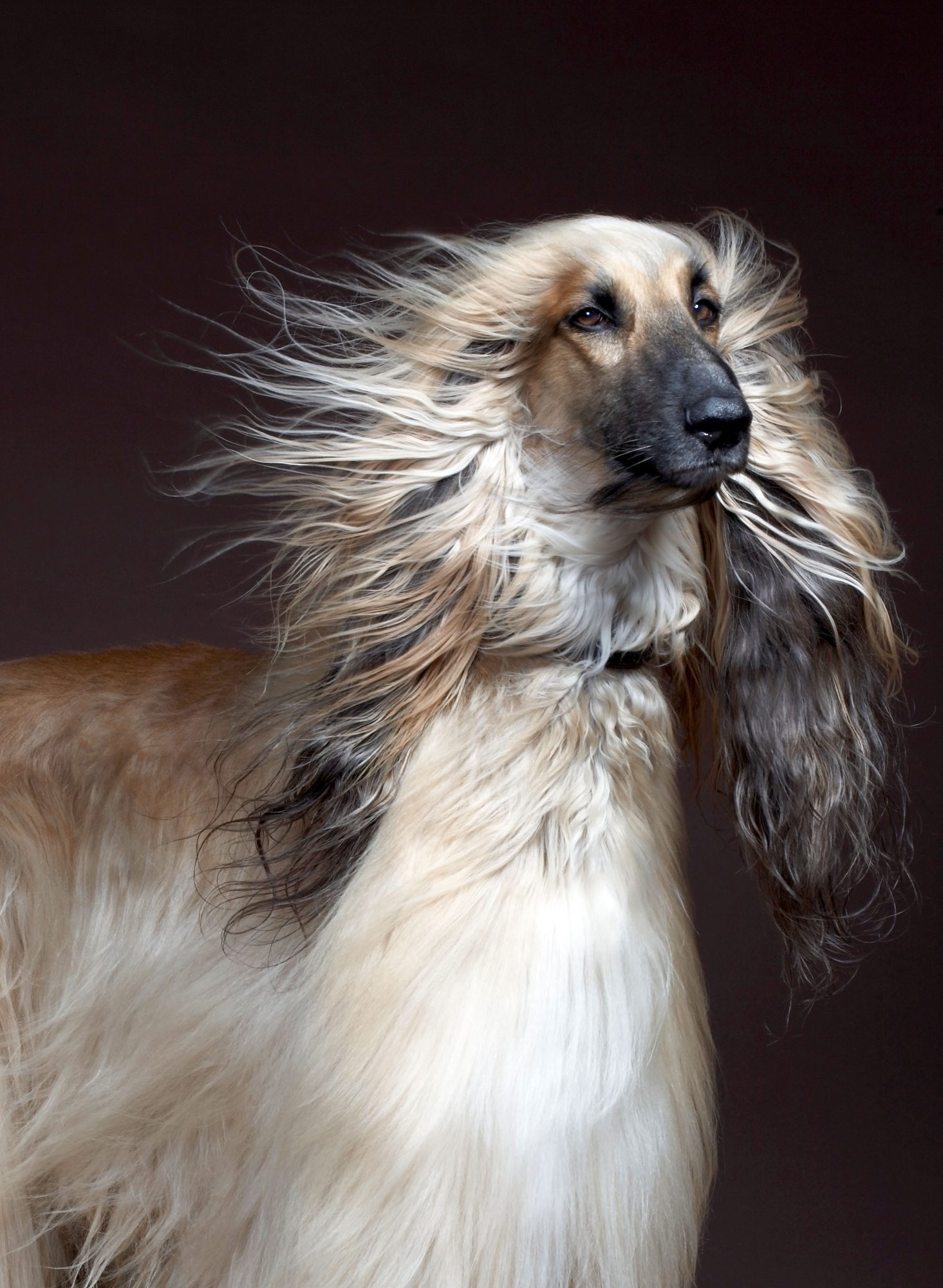 Afghan Hound with Hair Blowing in the Wind
