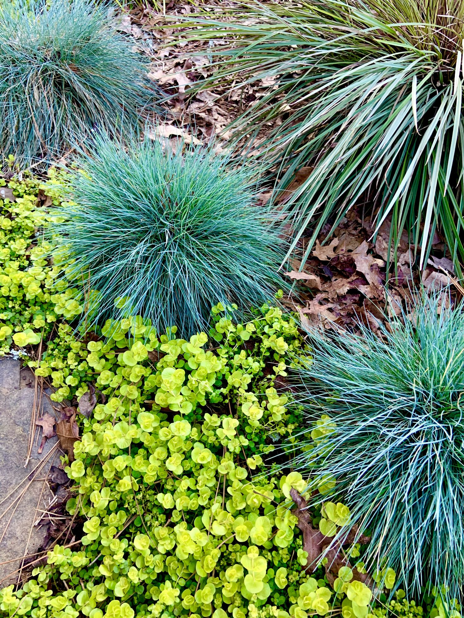 Blue Fescue Plants and Yellow Creeping Jenny Plants