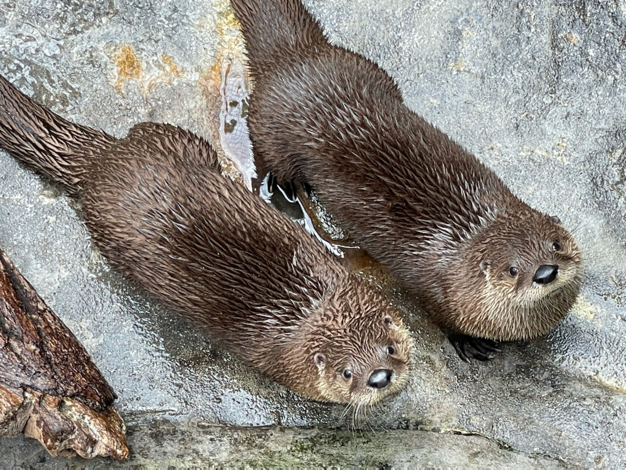River Otter Brothers