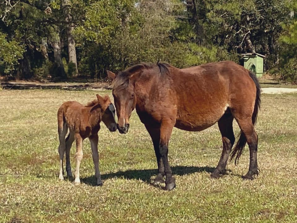 Corolla Wild Horse Fund New Foal Betsy