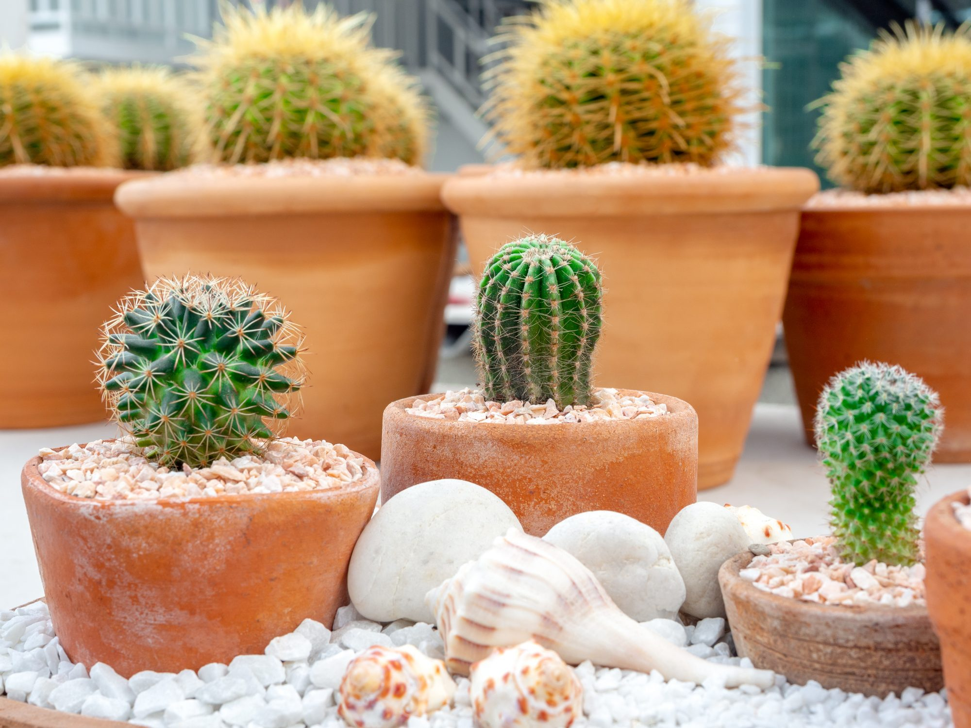 Green fresh cactus in pot with shells