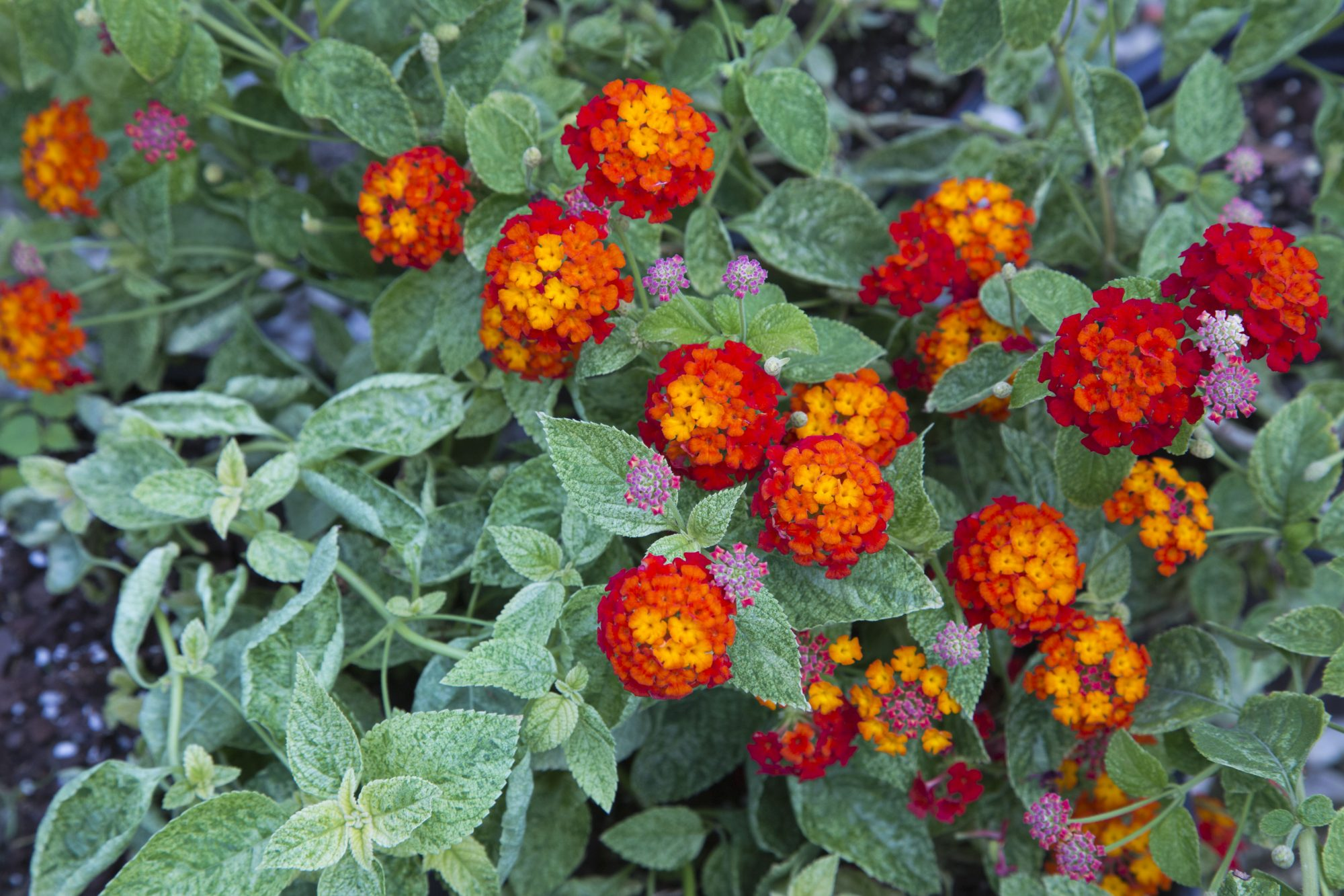 Cosmic Firestorm lantanas deliver year-round color to your yard. This long-blooming, drought-resistant plant attracts hummingbirds and butterflies with its fiery-colored flowers.USDA Zones: 8, 9, 10Exposure: Full SunLearn more about Cosmic Firestorm™ lantanas.