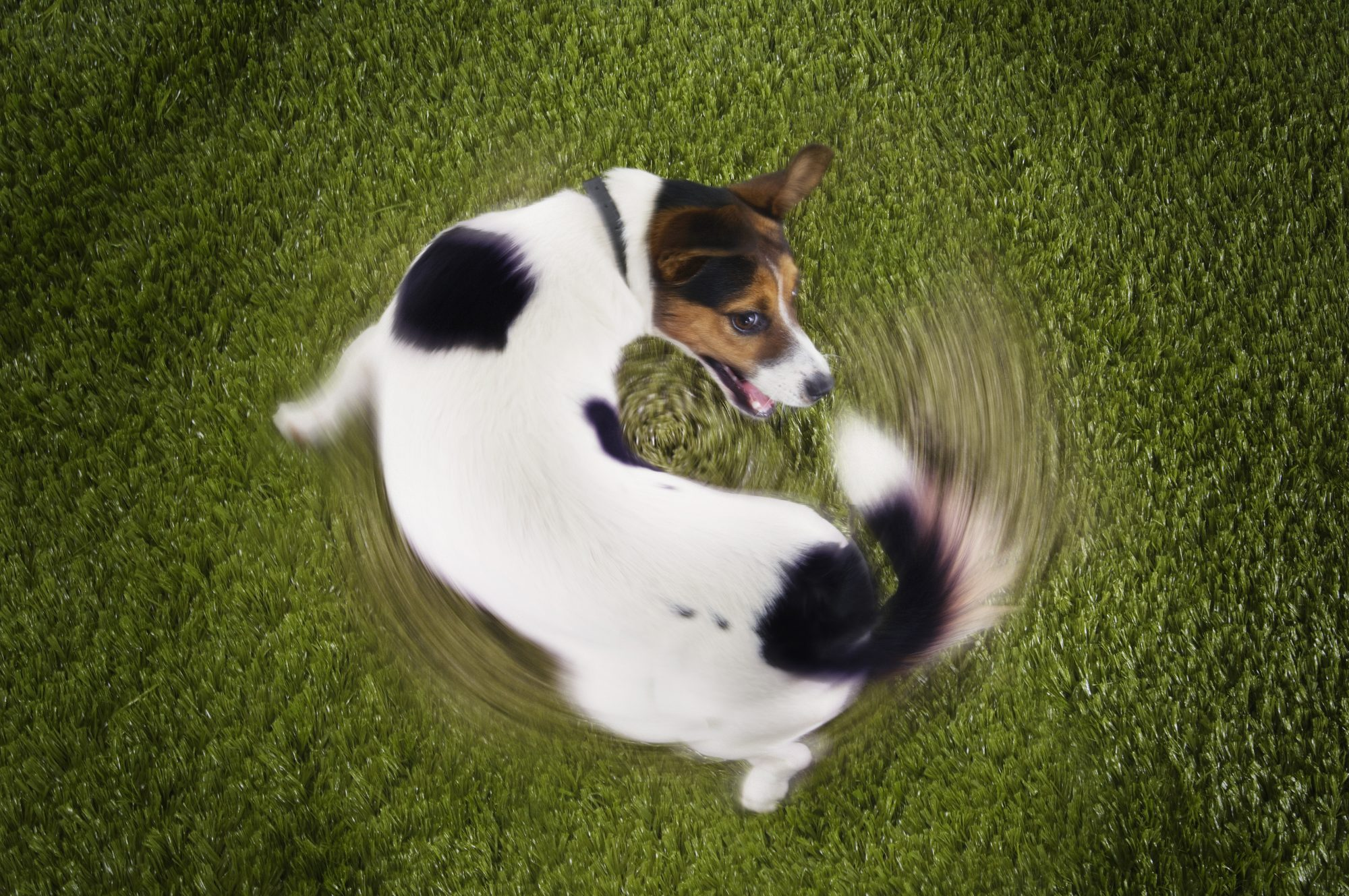 Jack Russell Terrier Dog Chasing Own Tail