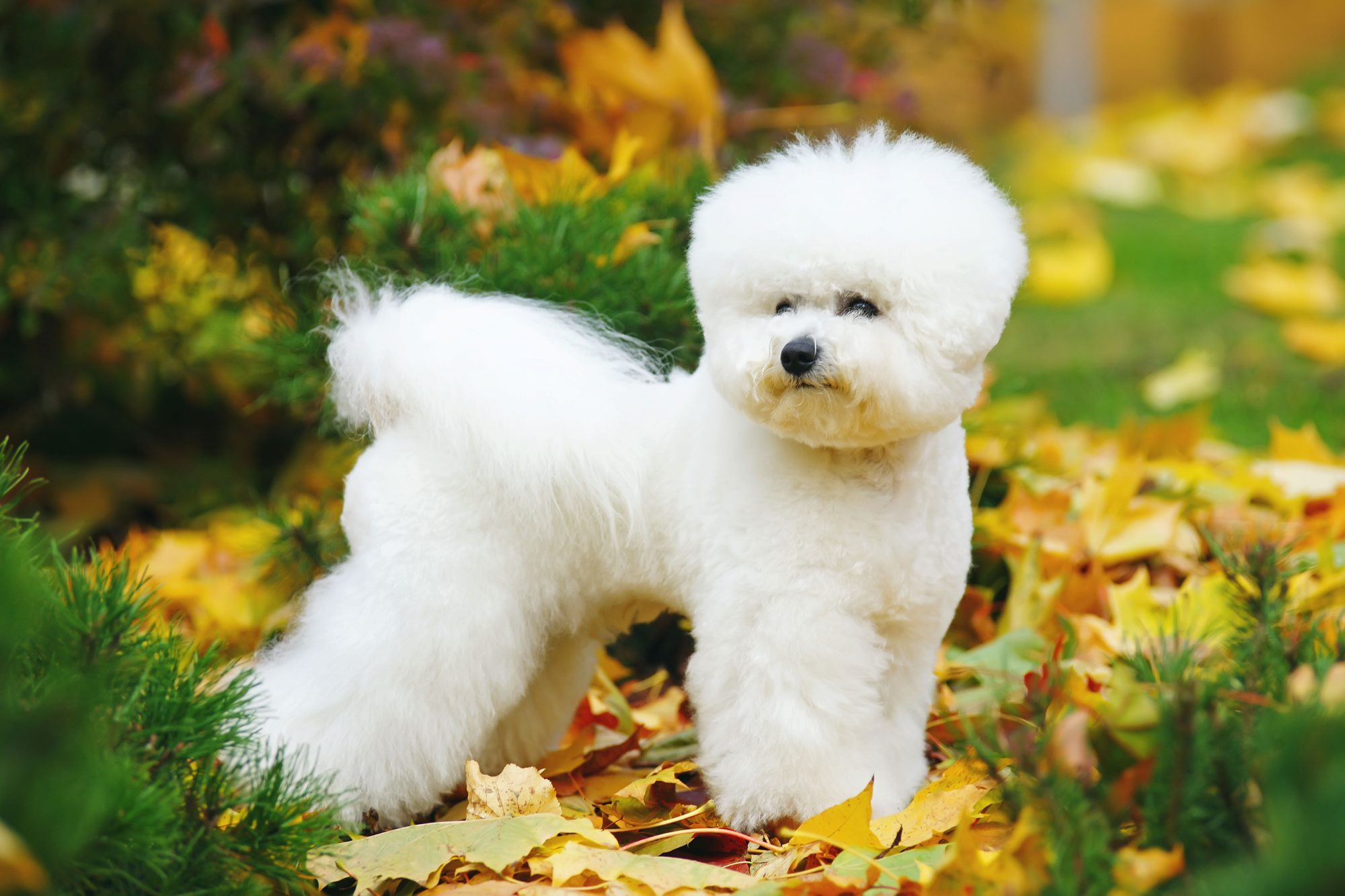 Bichon Frise Standing in Fall Leaves