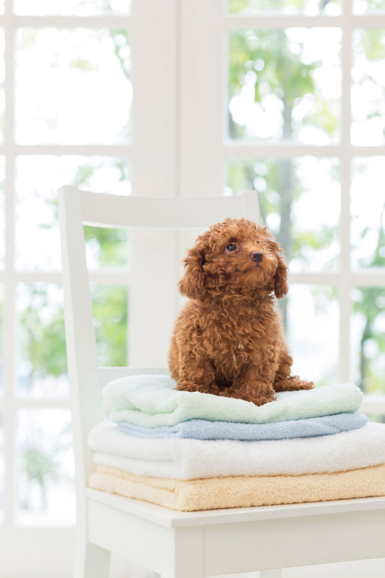 Toy Poodle Sitting on Stack of Folded Towels