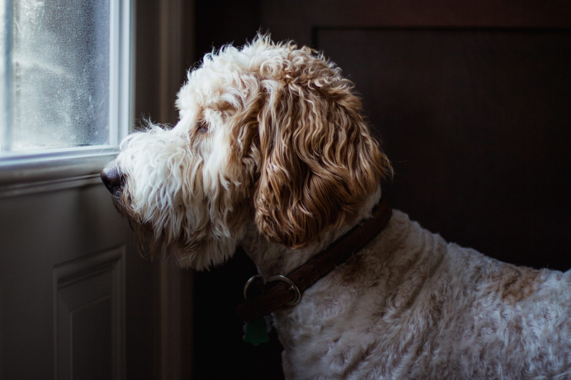 Golden doodle dog looking through a window