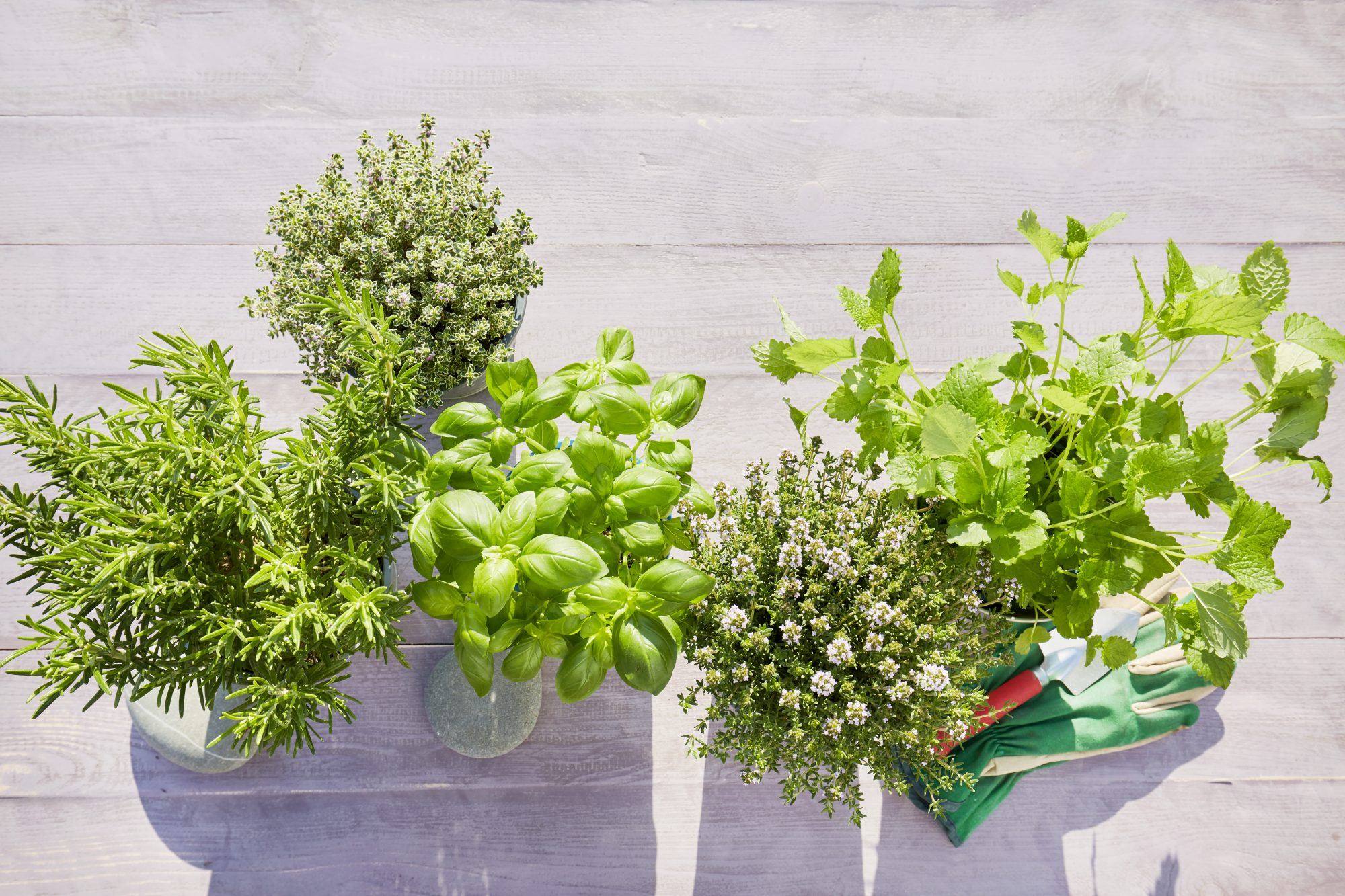 Still life of potted fresh herbs, shovel and garden gloves on wooden background in summer