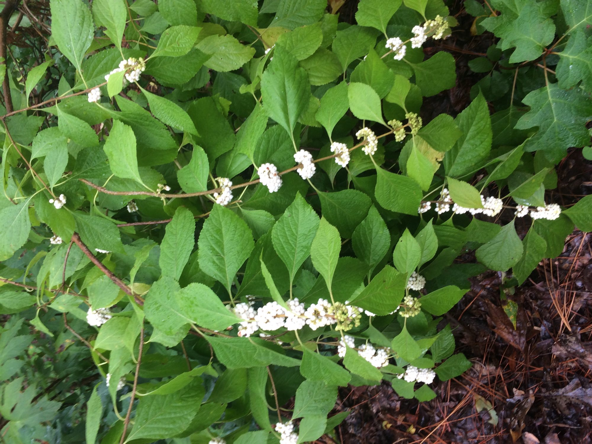 White American beautyberry