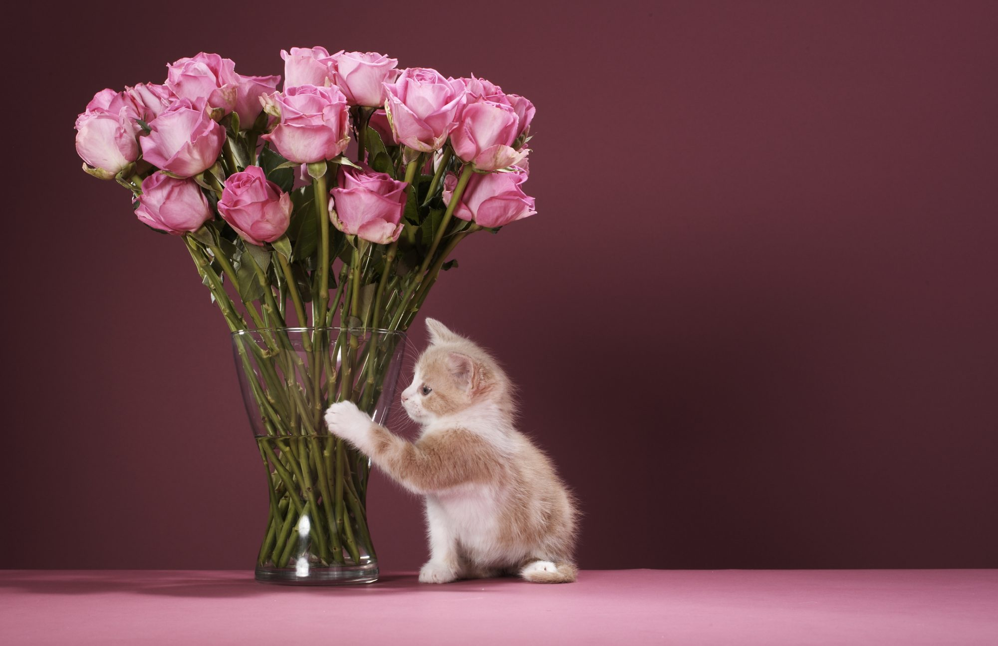 Are Roses Poisonous to Cats?