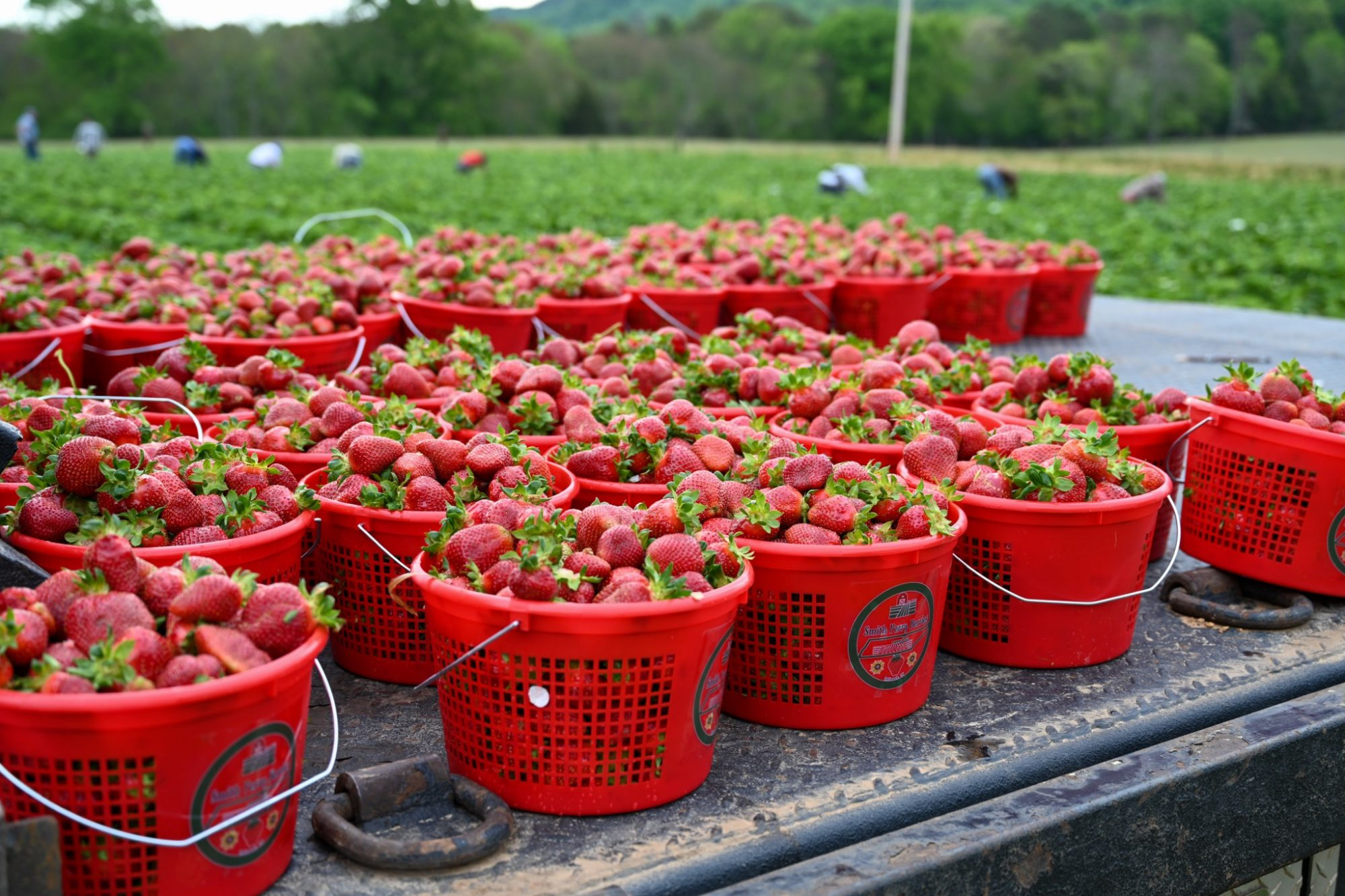 Buckets of strawberries on a truck bed in a field