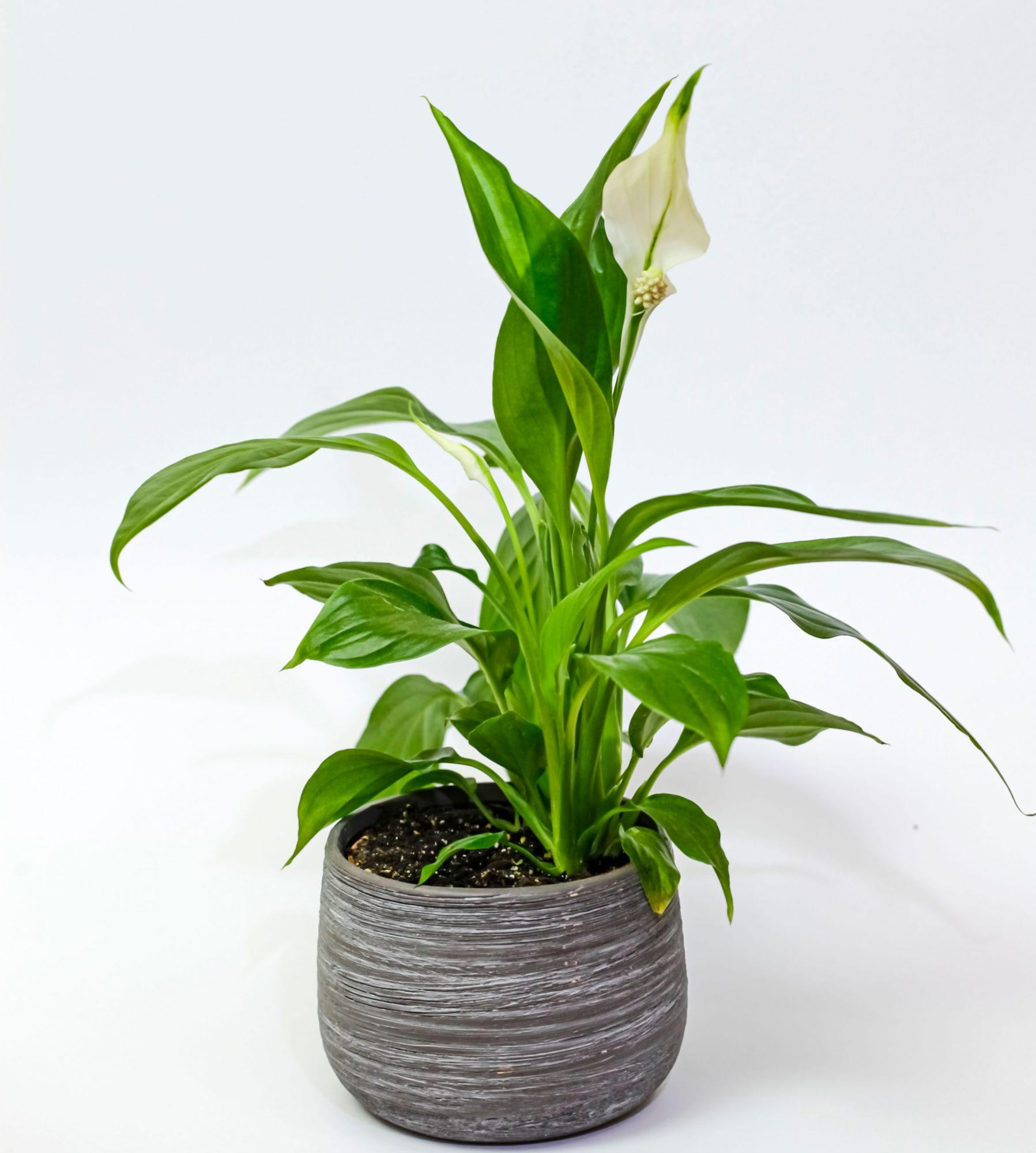 Spathiphyllum, commonly known as spath or peace lilies