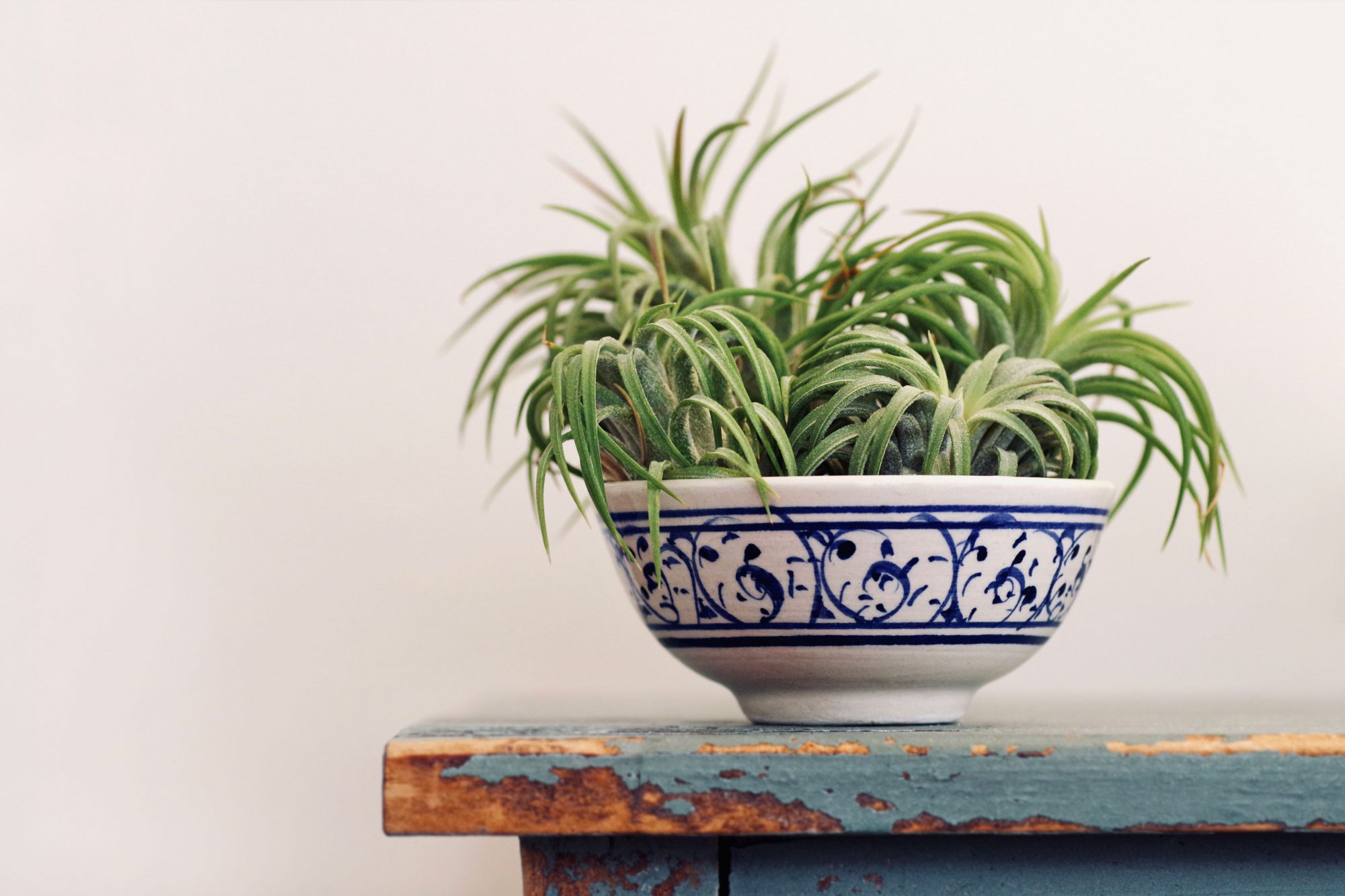 Air Plants in a China Dish on an Old Table