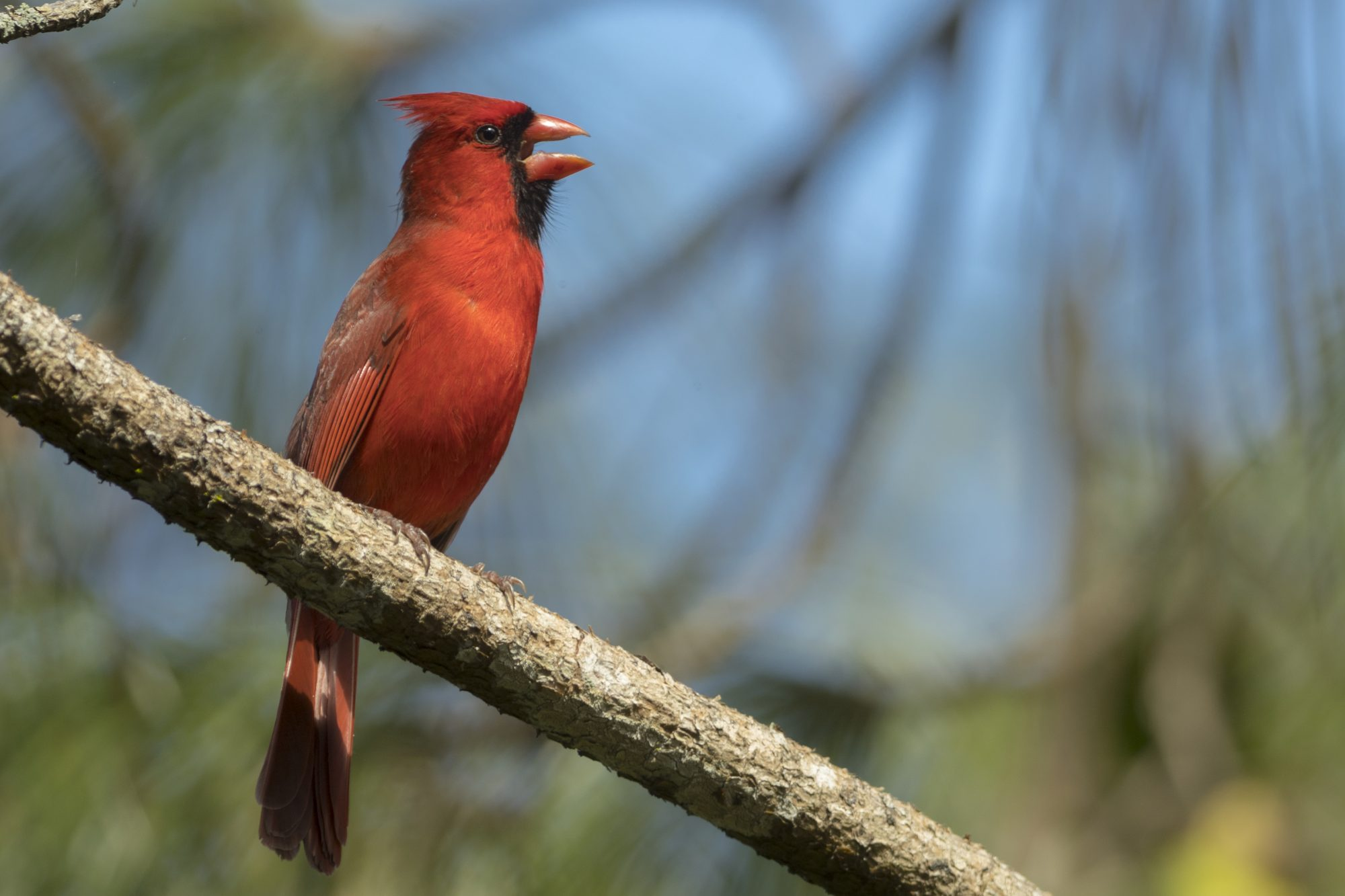Northern Cardinal male singing song