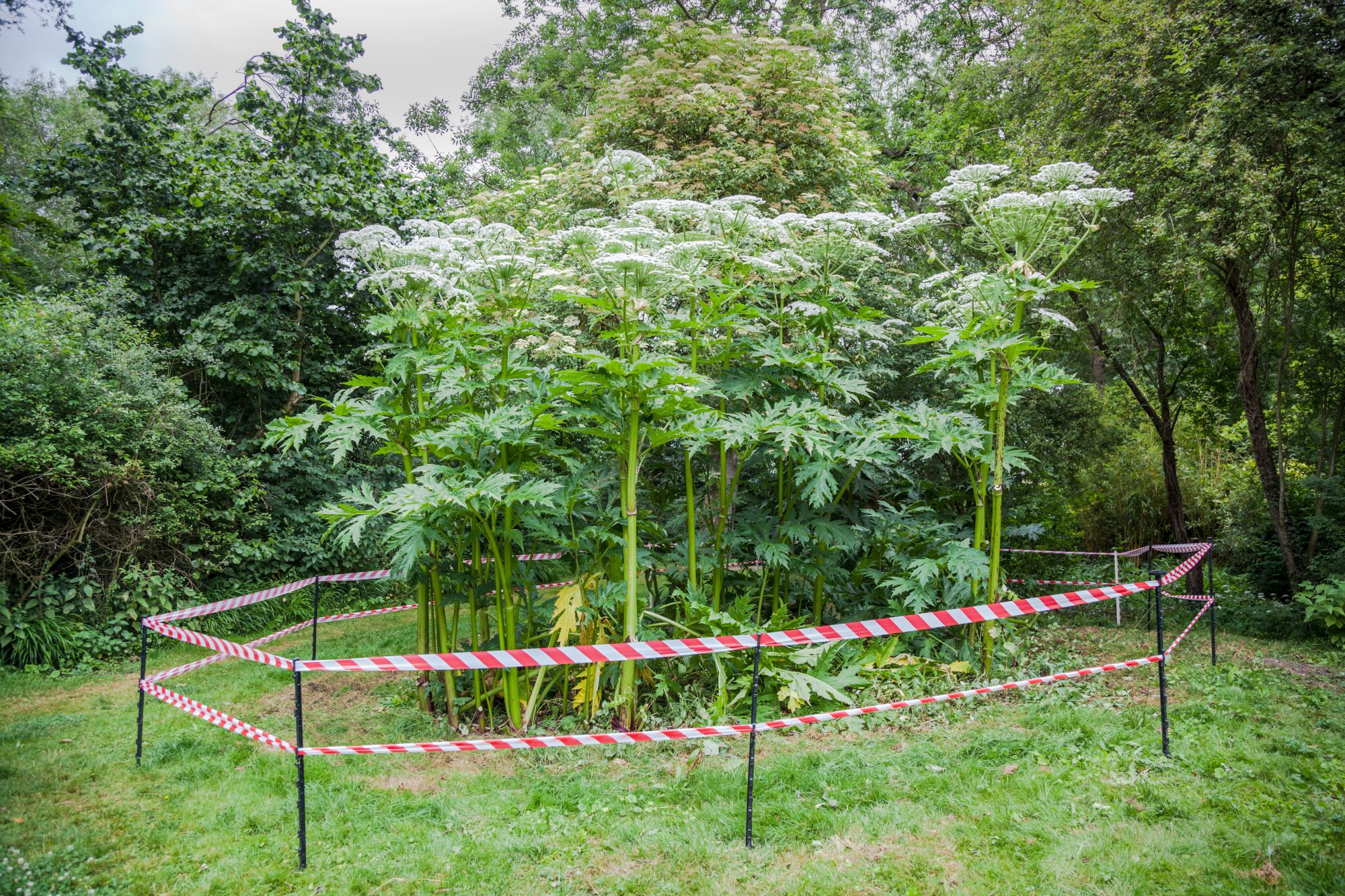 Giant Hogweed Roped Off With Caution Tape
