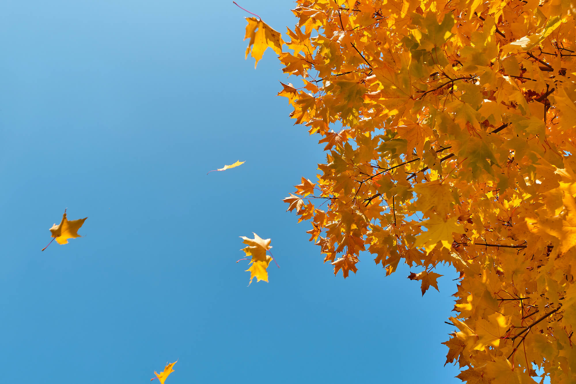 Gold autumn leaves against a blue sky