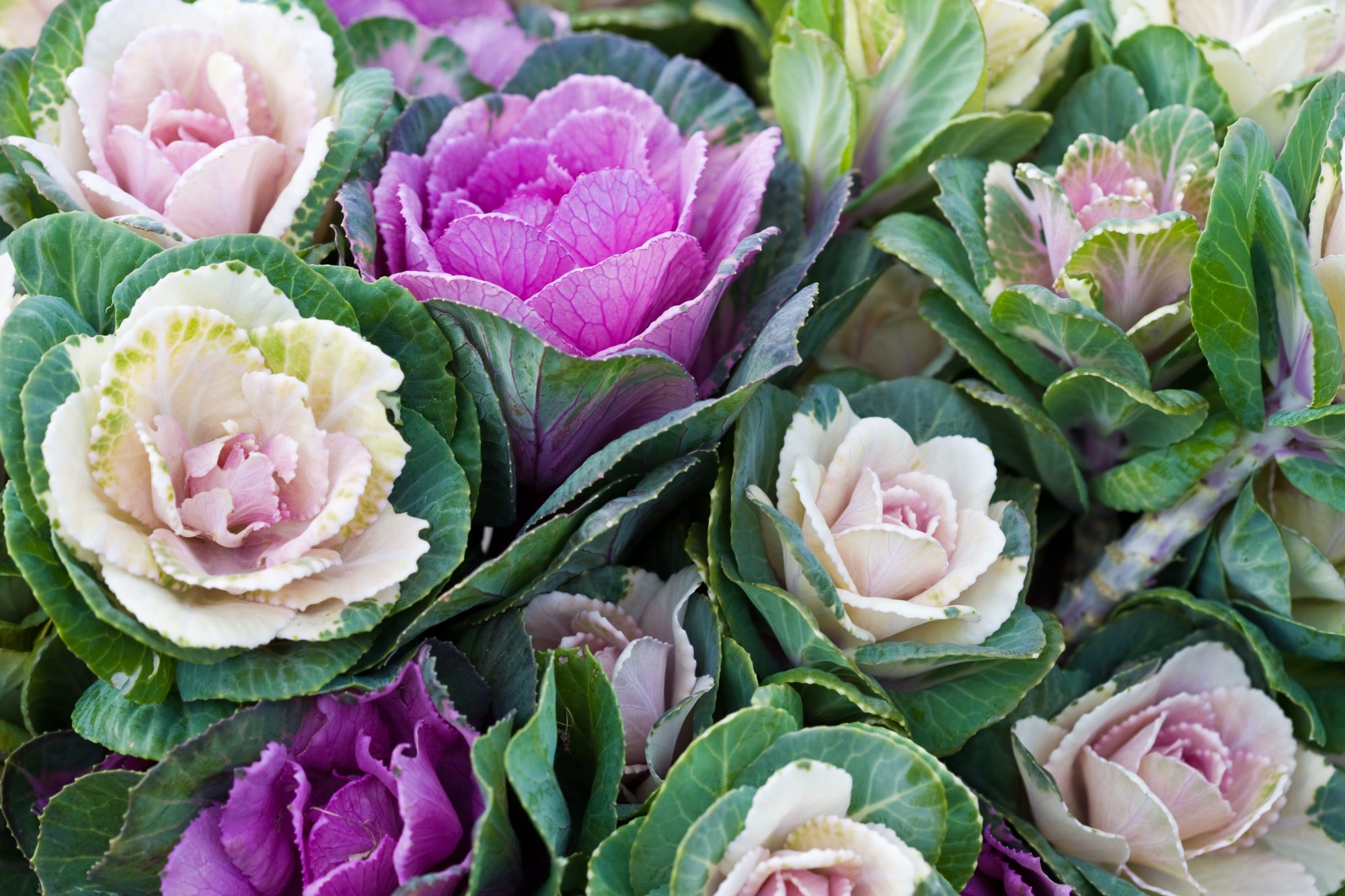 Ornamental Cabbage and Kale