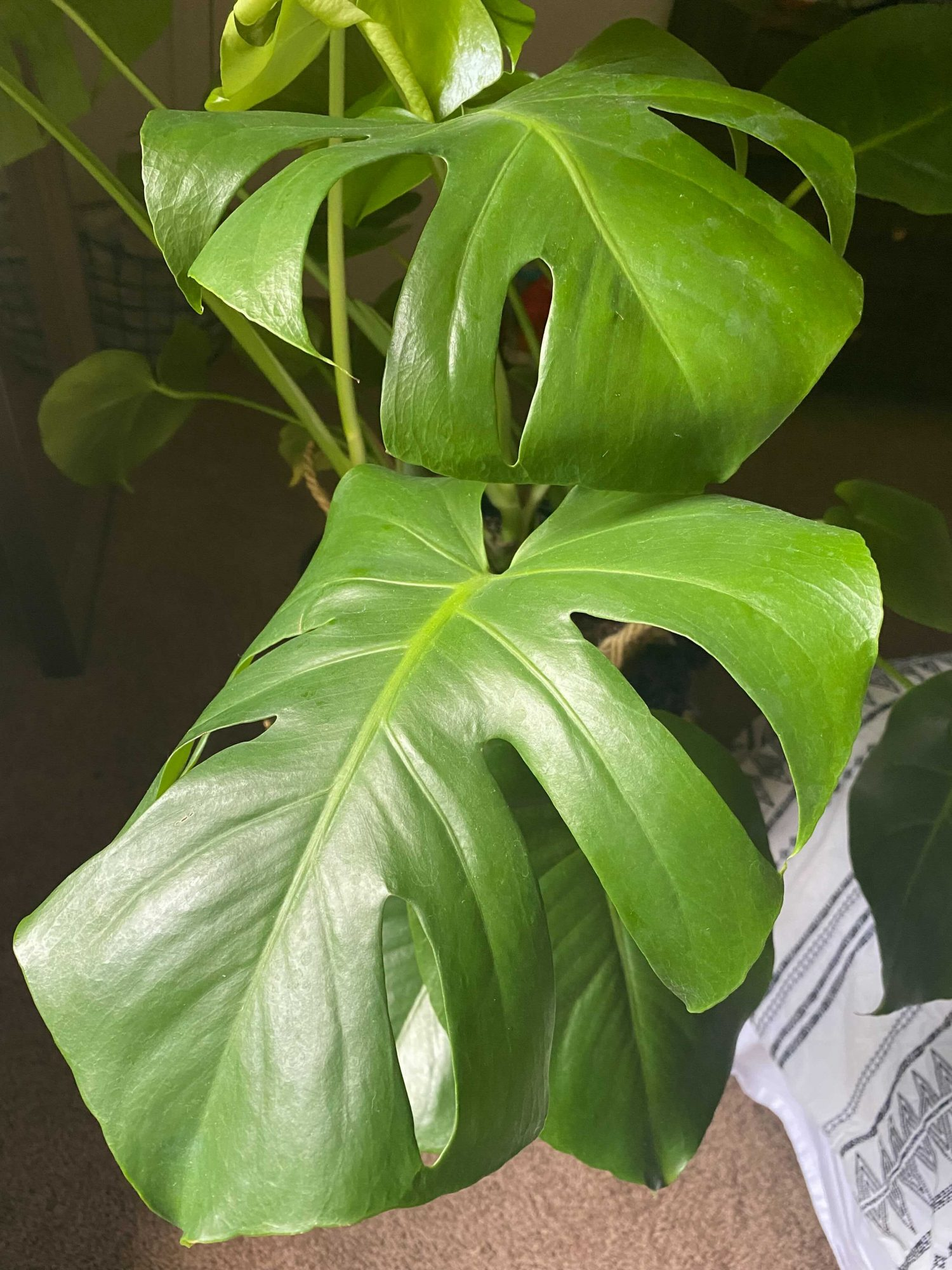 Monstera deliciosa have slits to protect them from strong winds.