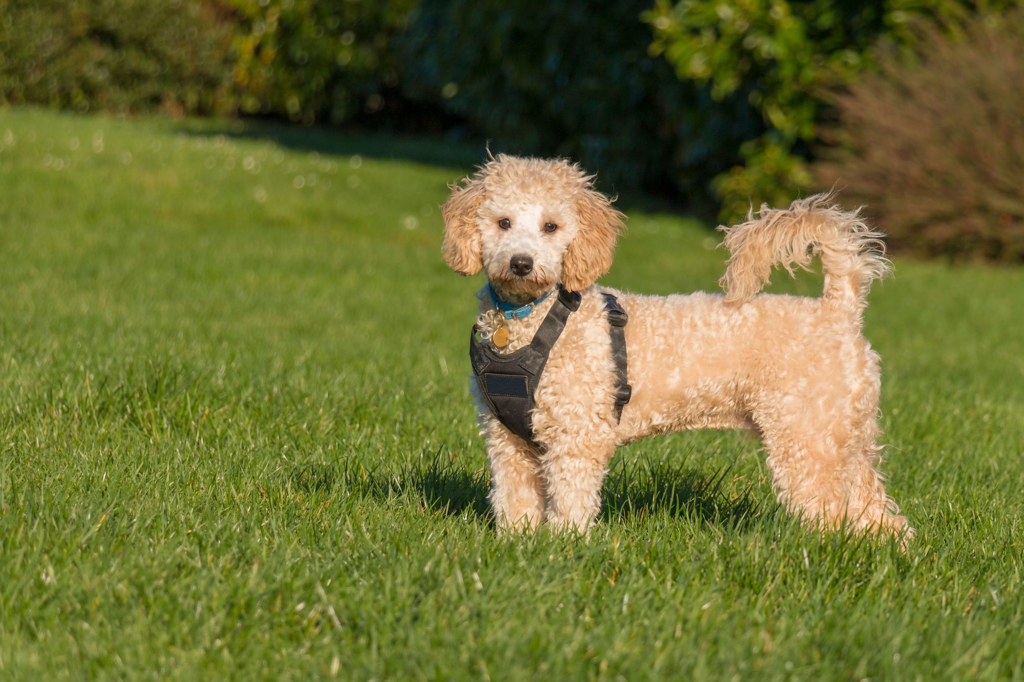 Poochon Dog Standing in Grass