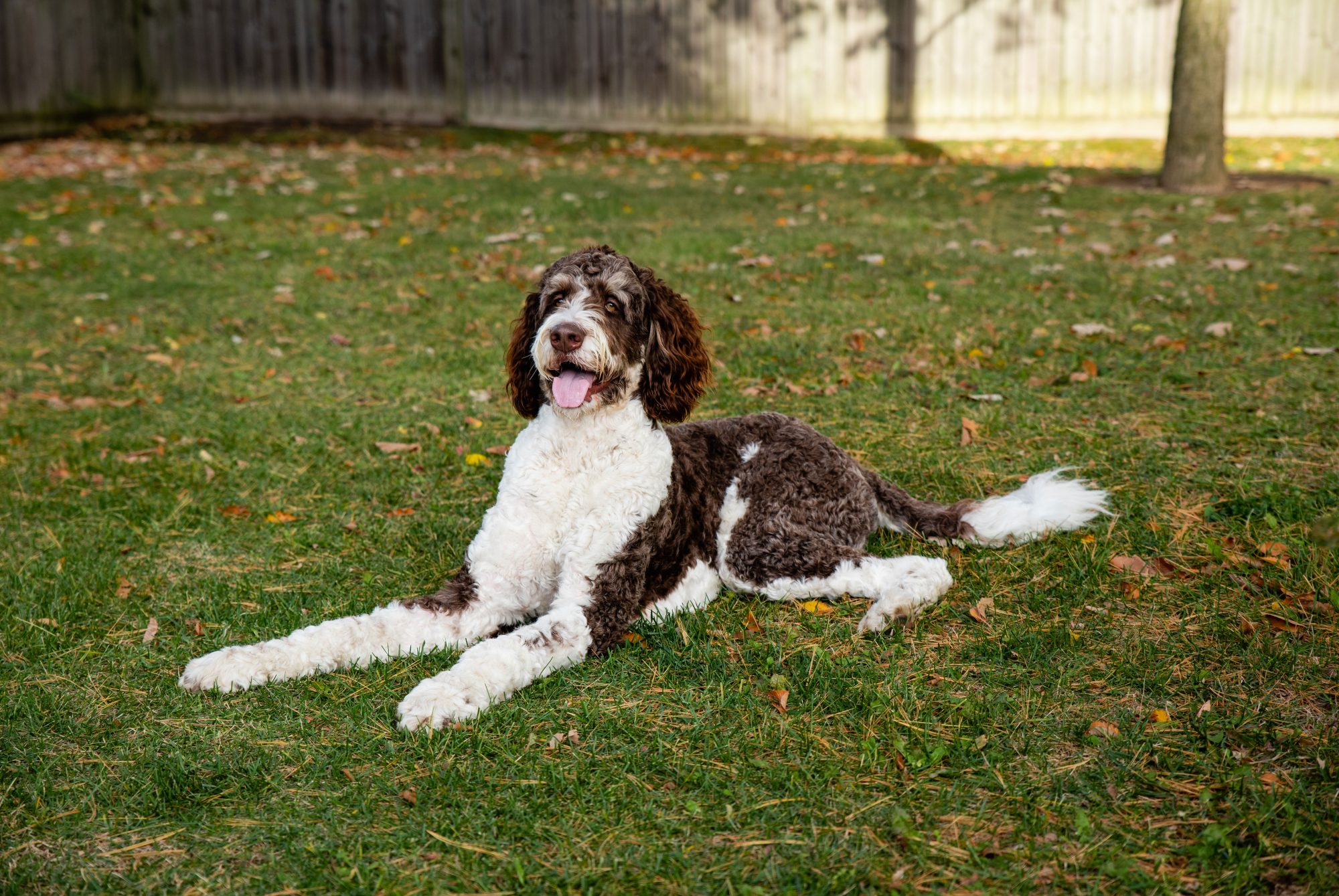 Bernedoodle Dog Laying in the Grass