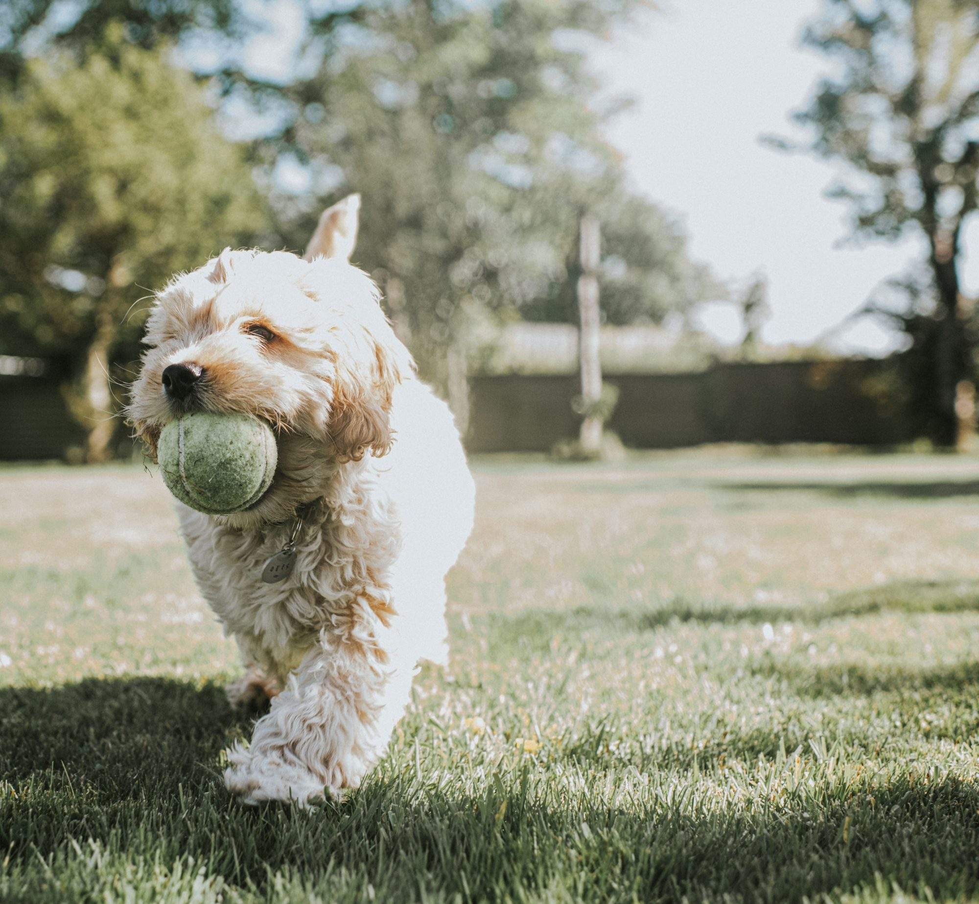 Cockapoo Puppy Running in Grass with Ball in His Mouth