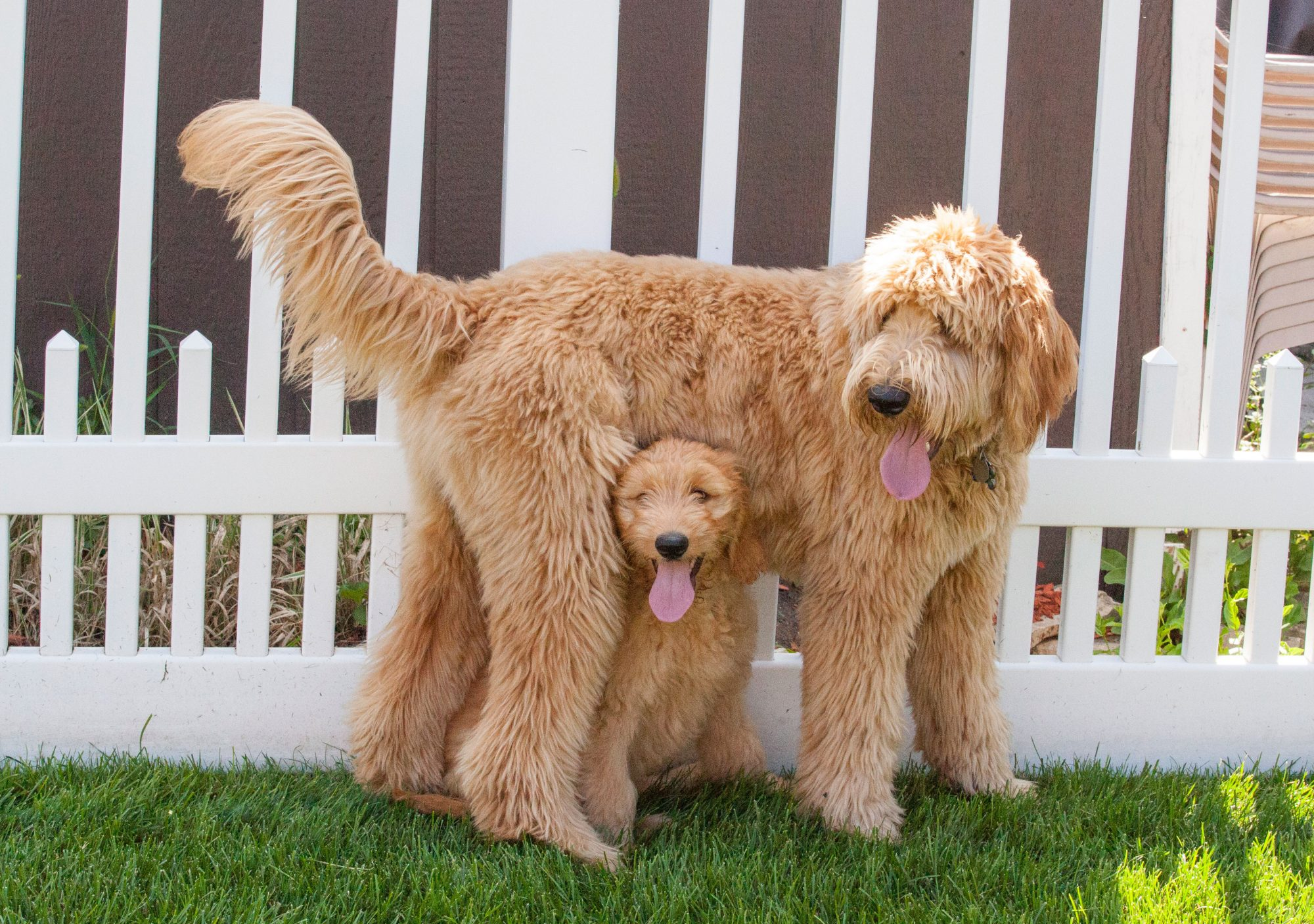 Goldendoodle Dog and Puppy
