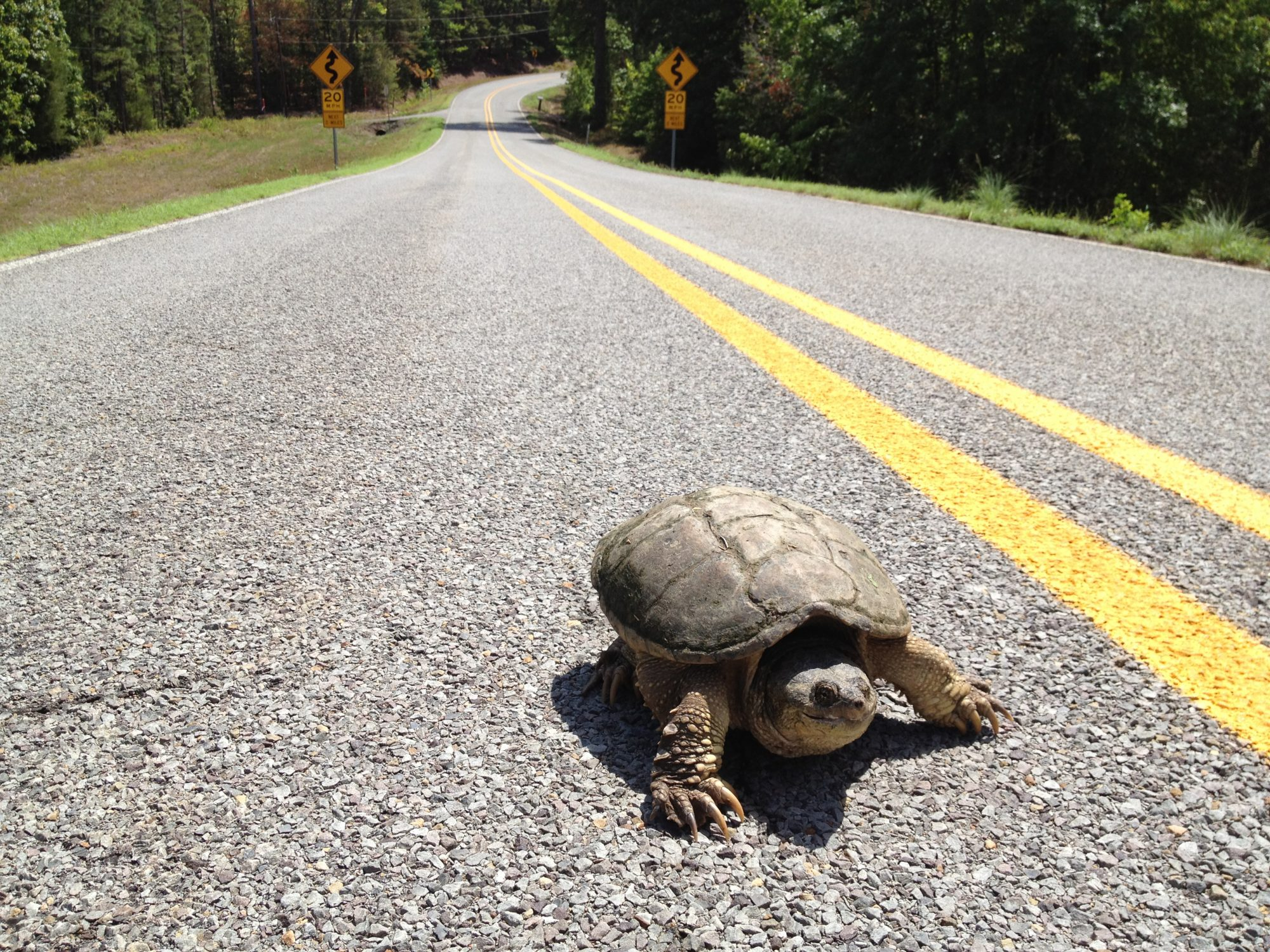 Snapping turtle on highway