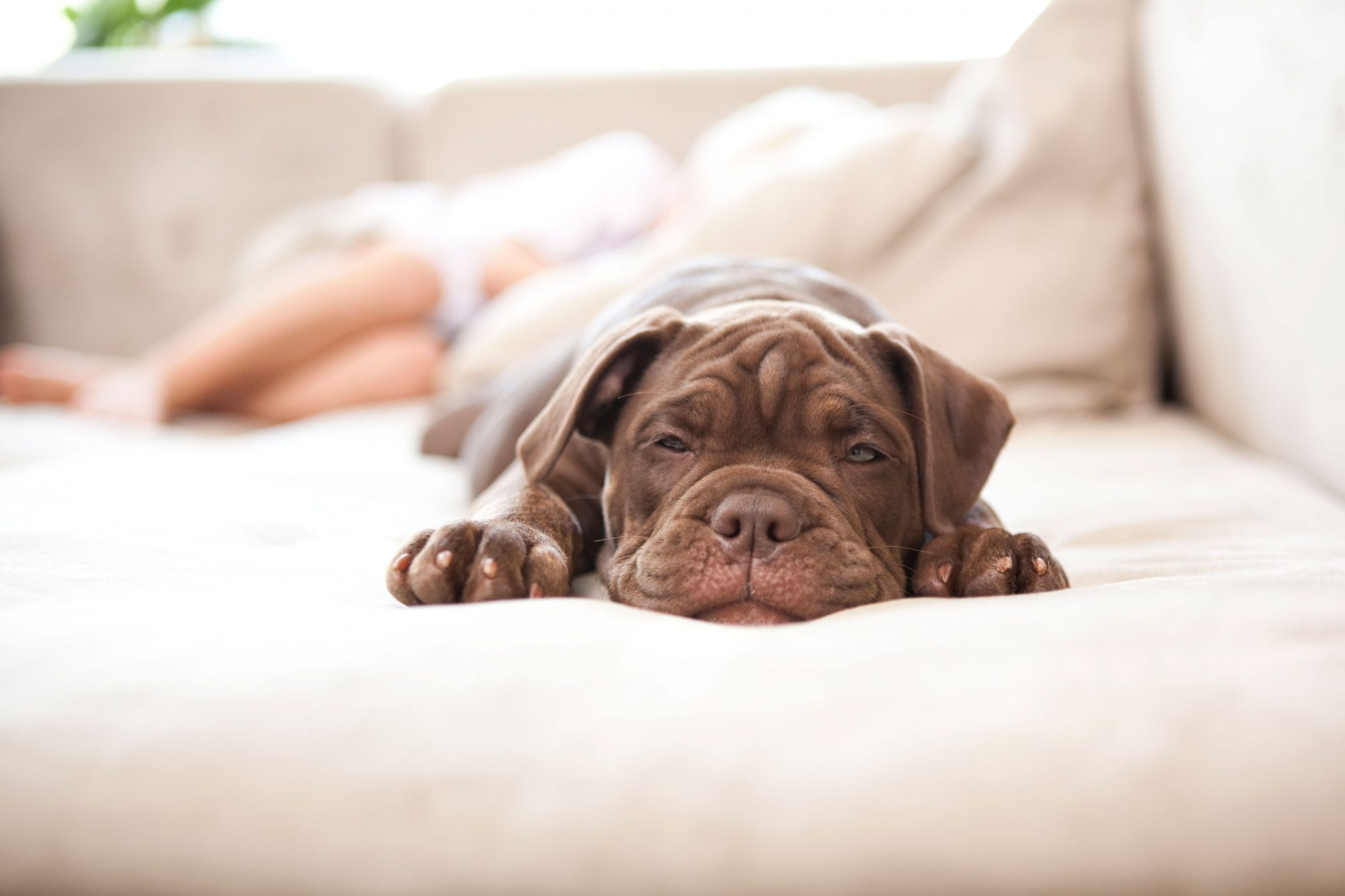 Portrait of Olde English Bulldogge sleeping on the couch