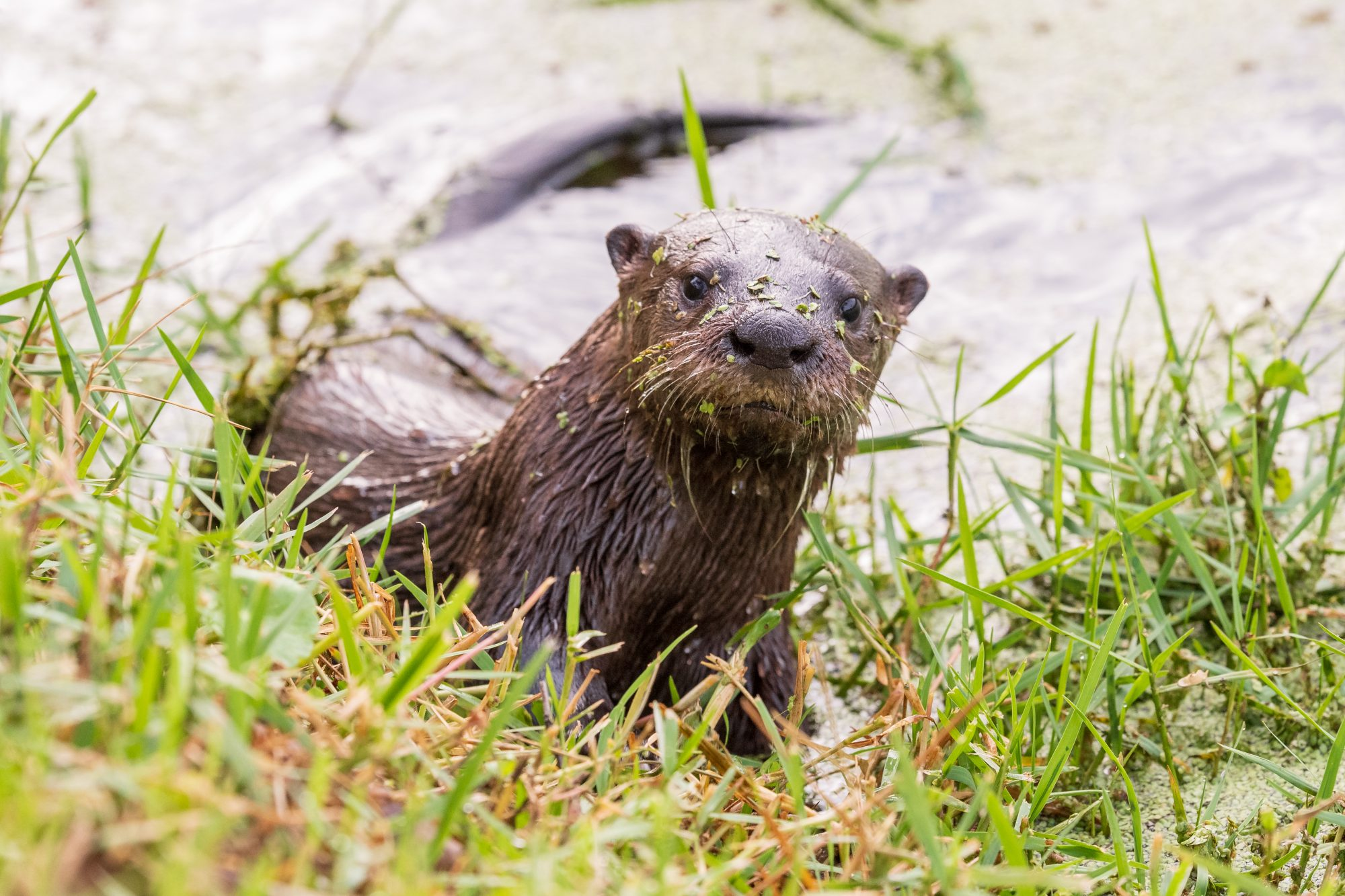 Young North American river otter