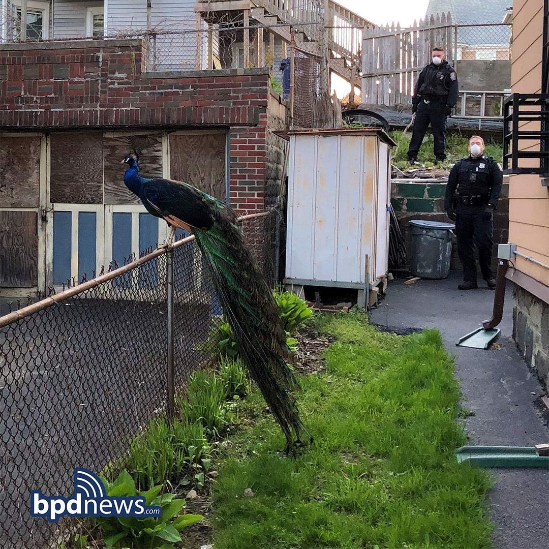 Boston PD finds Peacock