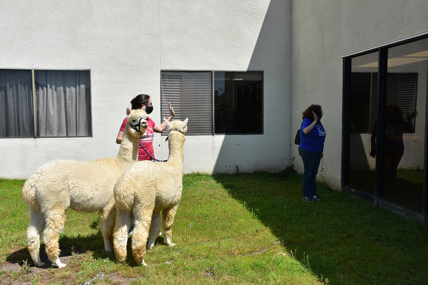 two alpacas stand outside