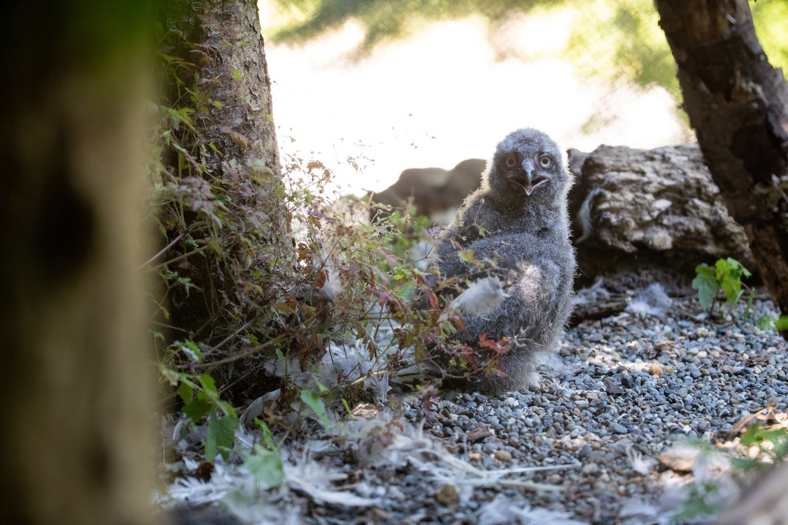 Woodland Park Zoo welcomed a pair of snowy owl chicks