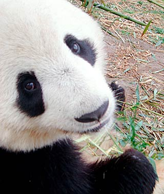 Best Save-the-Earth Trips: Panda conservation, Xi'an, China