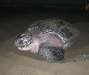 Best Save-the-Earth Trips: Leatherback sea turtle conservation, Costa Rica