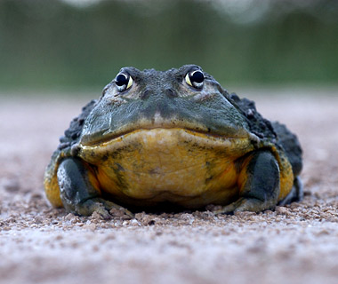 Giant Bullfrog, Kidney Failure, Death, Namibia